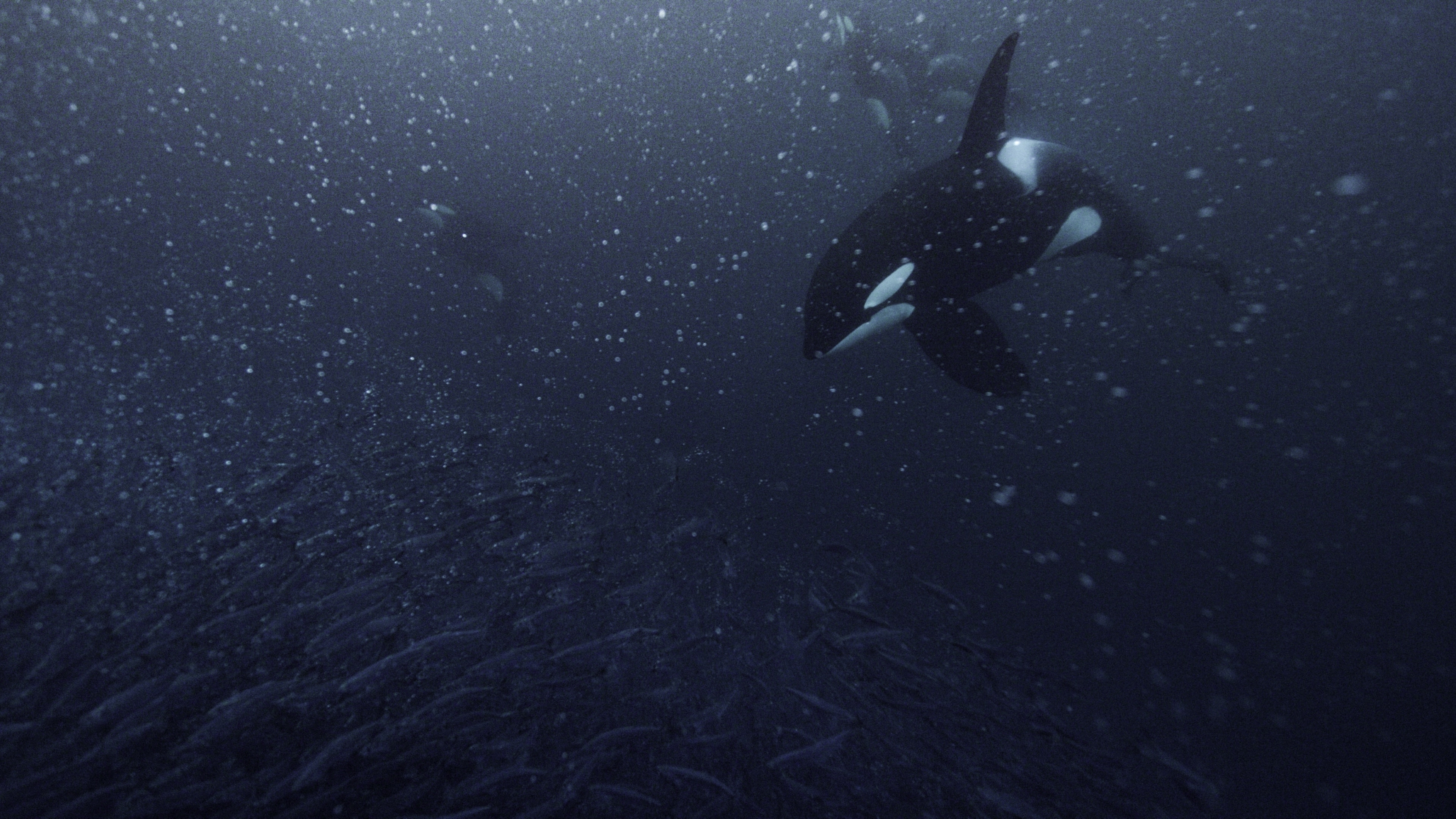 Herring are a primary food source for Norway's orcas. (National Geographic for Disney+/Luis Lamar)