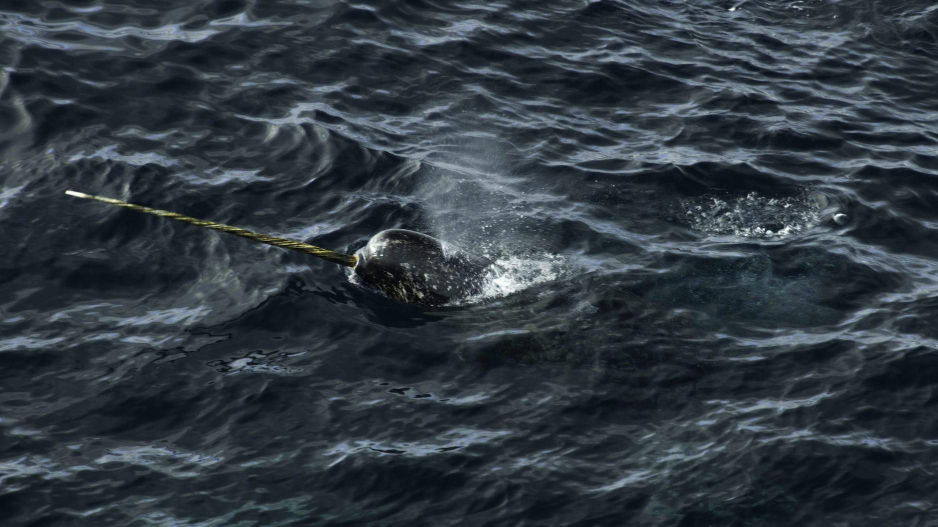 A narwhal's tusk is a long, hollow tooth that usually only develops in males. Its full function is still a mystery. (National Geographic for Disney+/Thomas Miller)