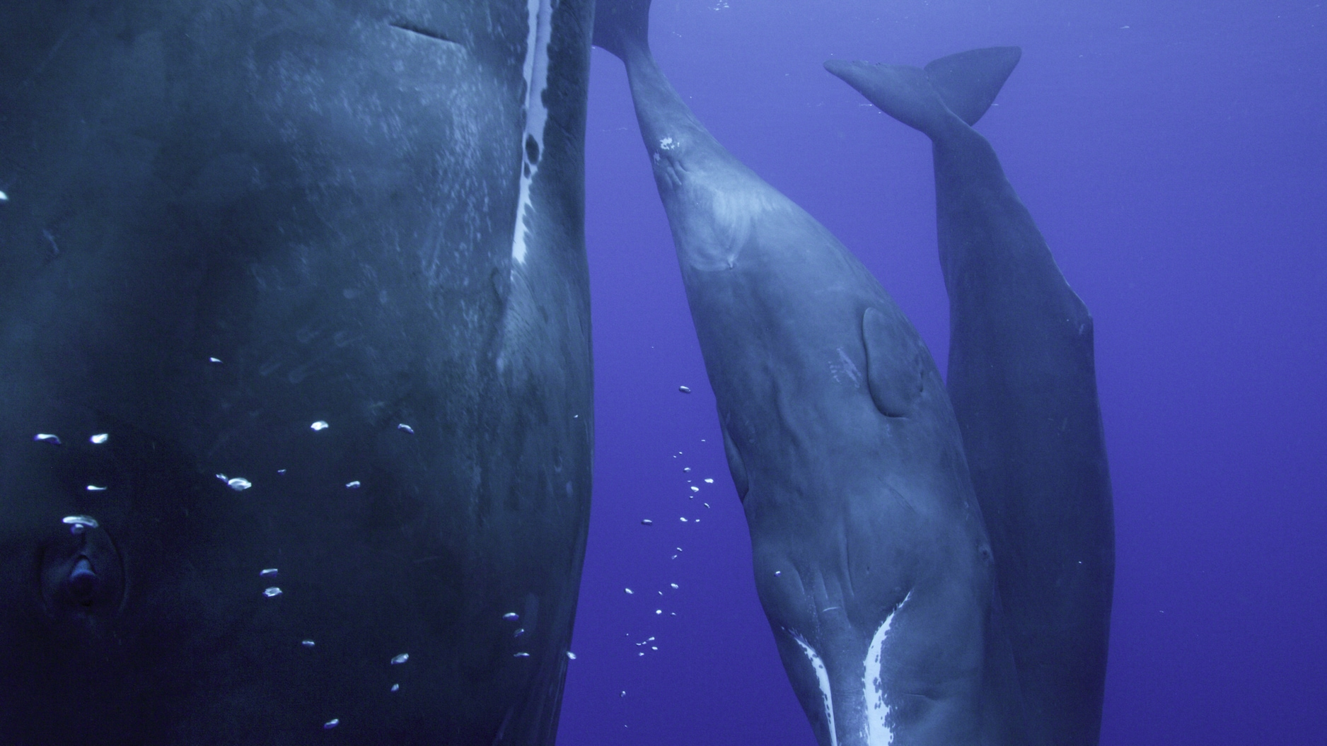 Sperm whales rest vertically, pausing every 10-15 minutes to breathe at the surface. They may rely on sleep less than any other mammal on the planet. (National Geographic for Disney+/Luis Lamar)