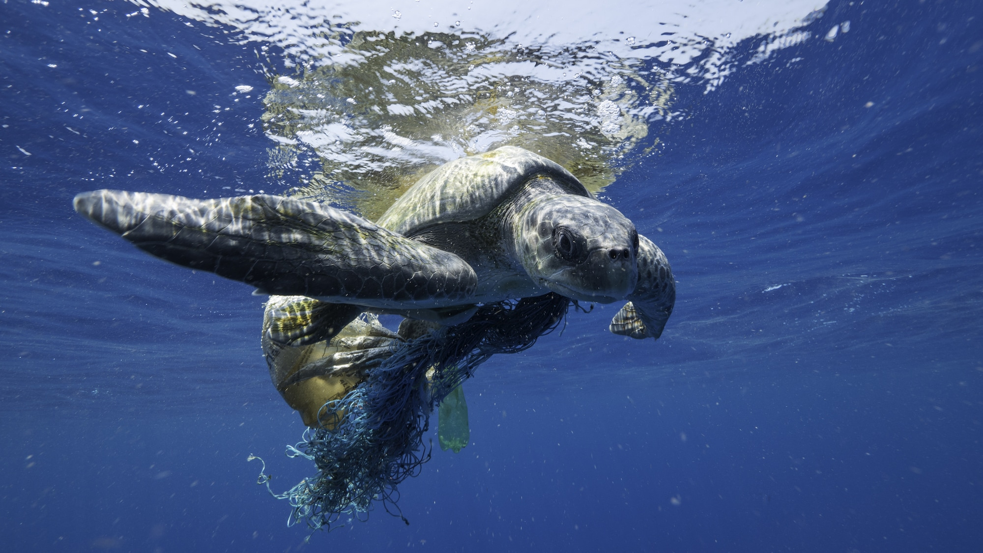 Fishing gear is the most common form of plastic pollution in the ocean, and it is often lethal to marine wildlife, including whales. The National Geographic team saved this sea turtle while on assignment in the Indian Ocean. (National Geographic for Disney+/Hayes Baxley)
