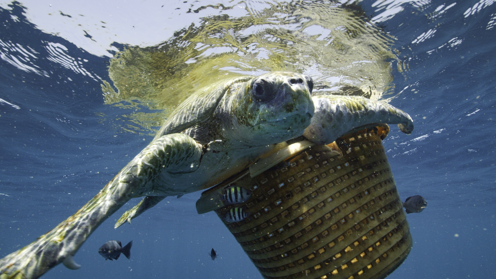 Entanglement in marine debris, like this laundry bin, is often lethal to marine wildlife, including whales. The National Geographic team saved this sea turtle while on assignment in the Indian Ocean. (National Geographic for Disney+/Luis Lamar)