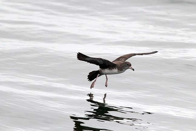 Valparaiso Pelagic Trip Pink footed Shearwate - HugoArnal