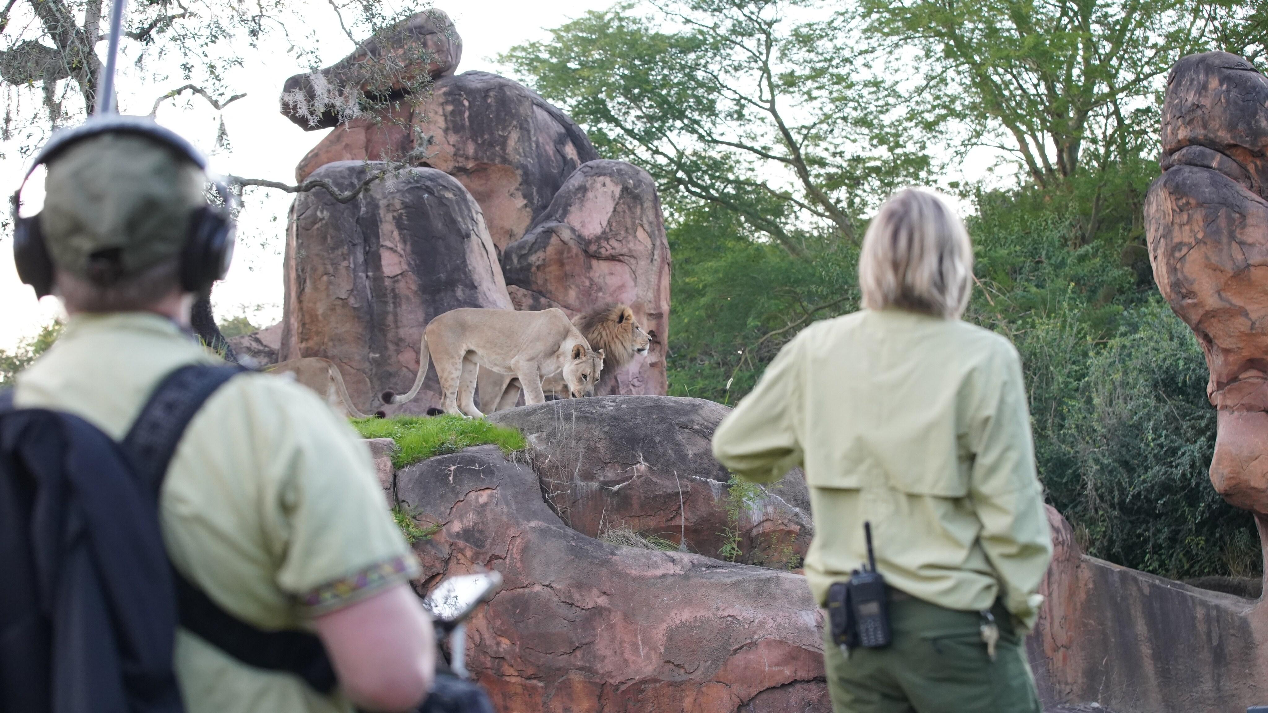 Production team and keeper Lori Kurdziel observing lions Kinsey and Dakari. (Disney)