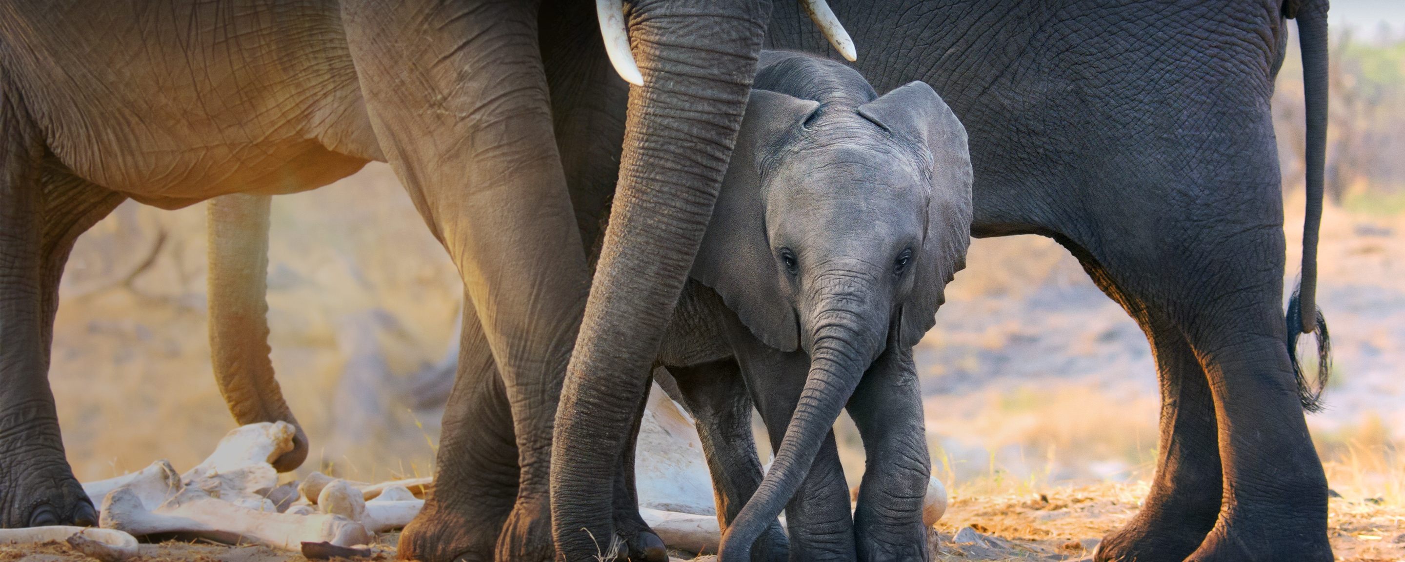 Disneynature's Elephant narrated by Meghan, the Duchess of Sussex