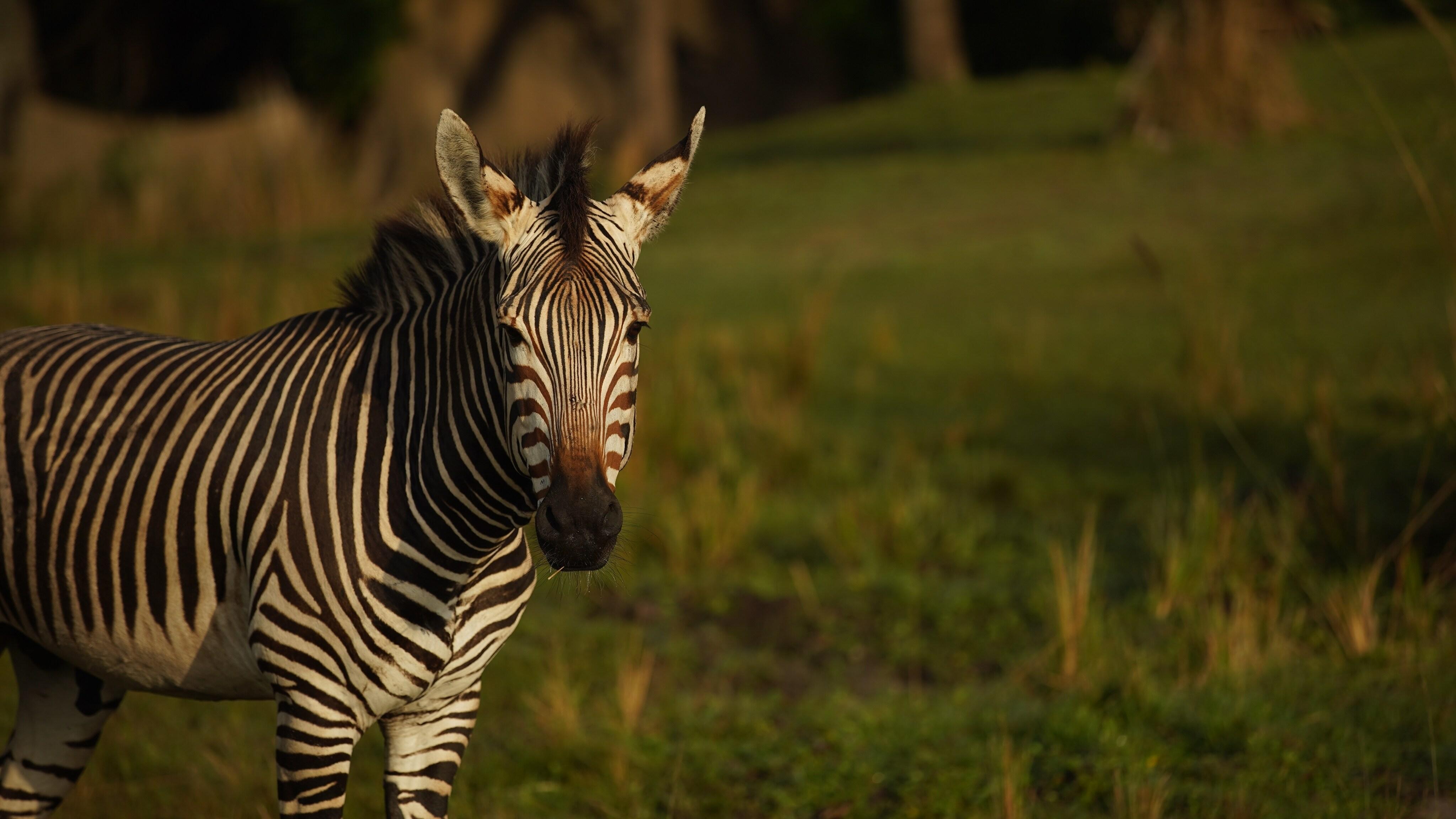 Domino the Hartmann's Mountain Zebra. (Disney)