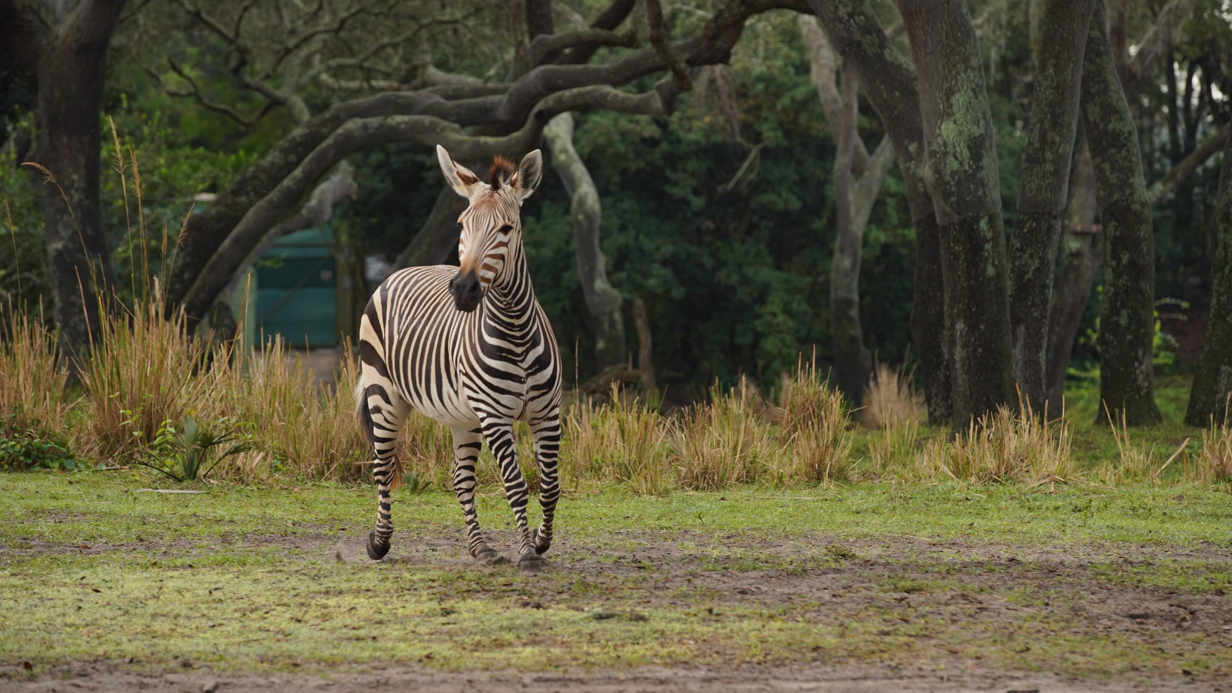 Prima the Hartmann's Mountain Zebra. (Disney)