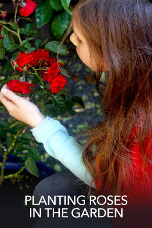 Planting Roses In The Garden