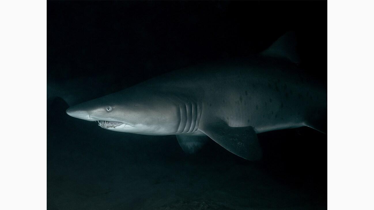 A Grey Nurse Shark at Magic Point in Australia. Photo by Michaela Skovranova