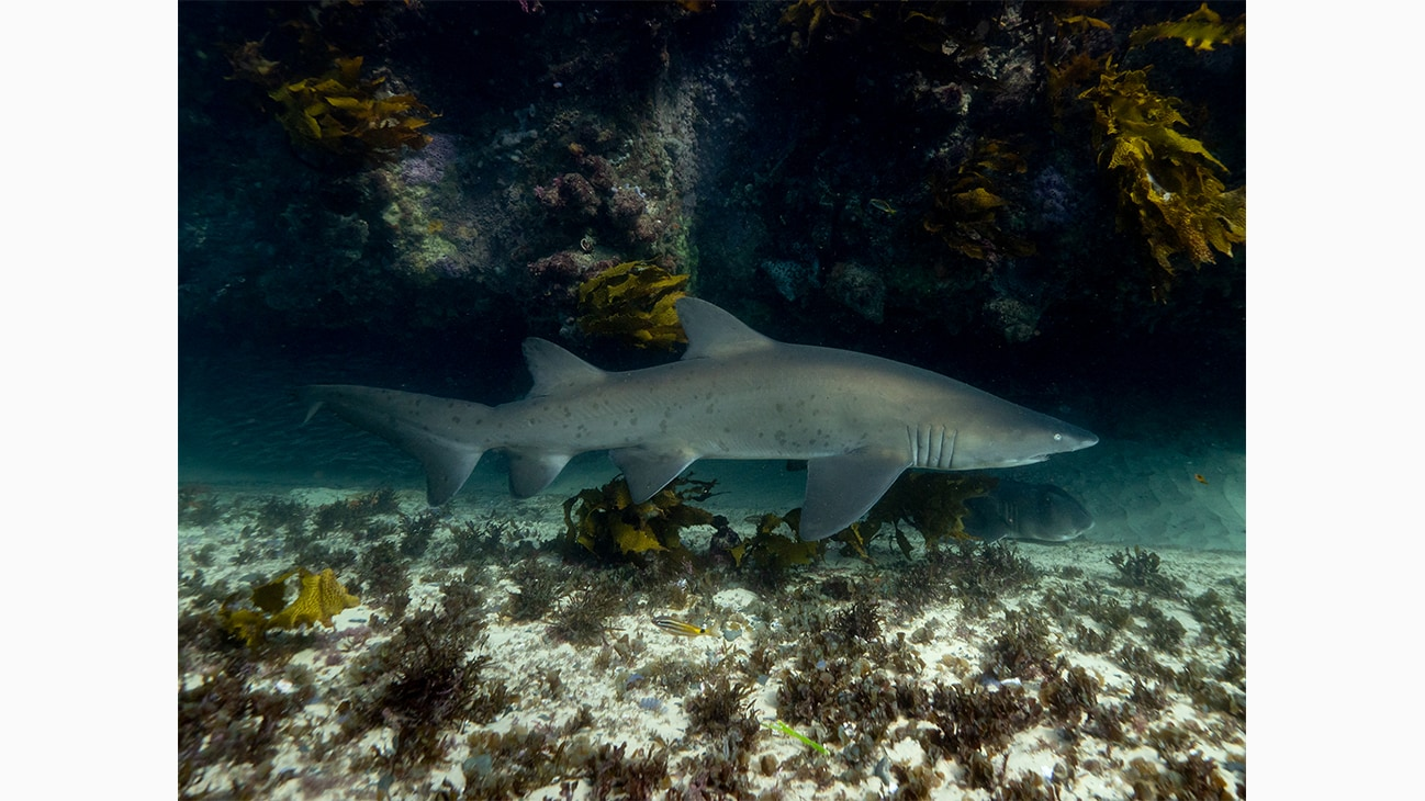 A Grey Nurse Shark at Seal Rocks in Australia. Photo by Michaela Skovranova.