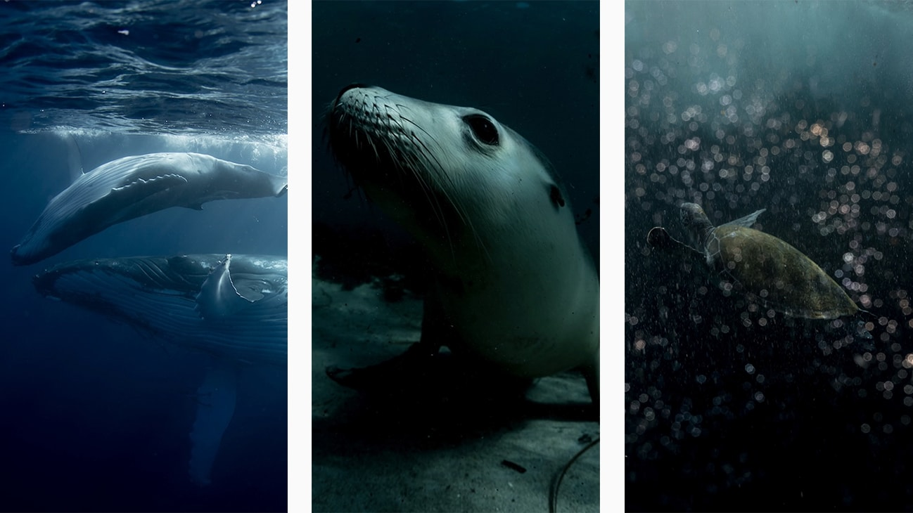 A humpback whale, an Australian sea lion and a green turtle. Photos by Michaela Skovranova