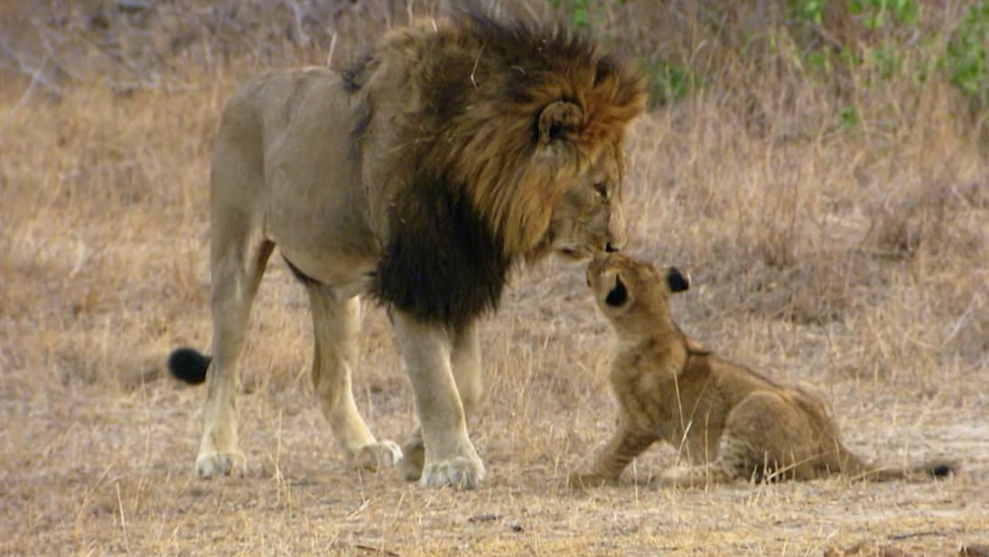 A still image of a male lion and cub from National Geographic Wild's A Lion's Pride