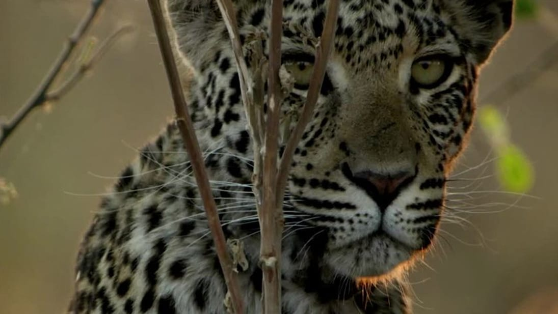 A still image from National Geographic's Savage Kingdom Season 4