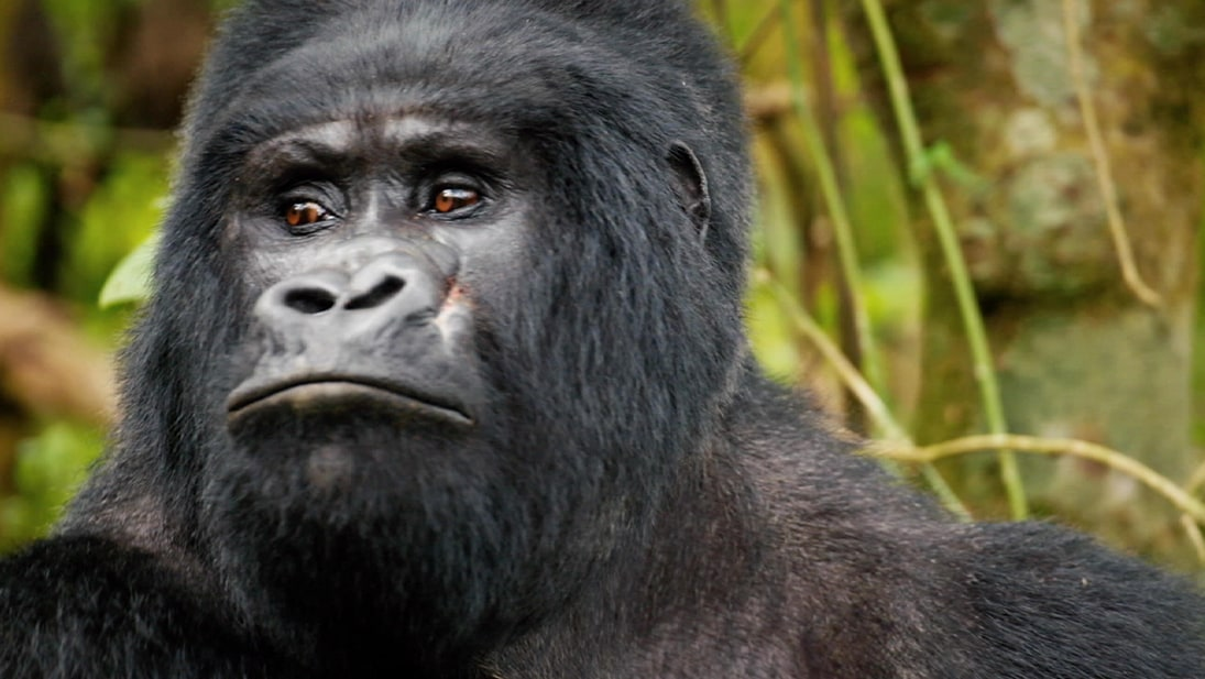 A close-up photo of a gorilla from National Geographic's Wild Africa