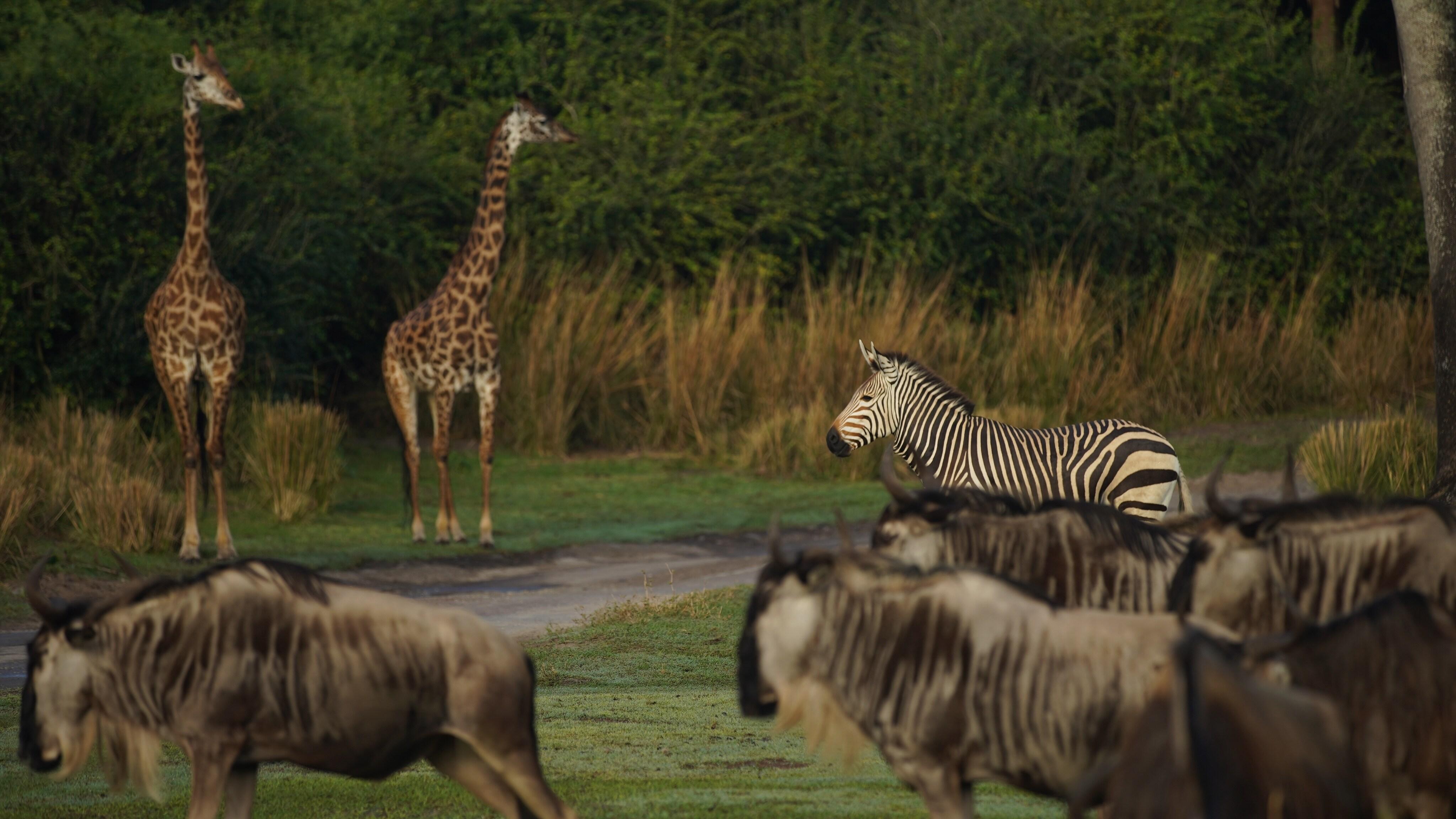 Prima the Hartmann's Mountain Zebra with wildebeest and giraffes. (Disney)