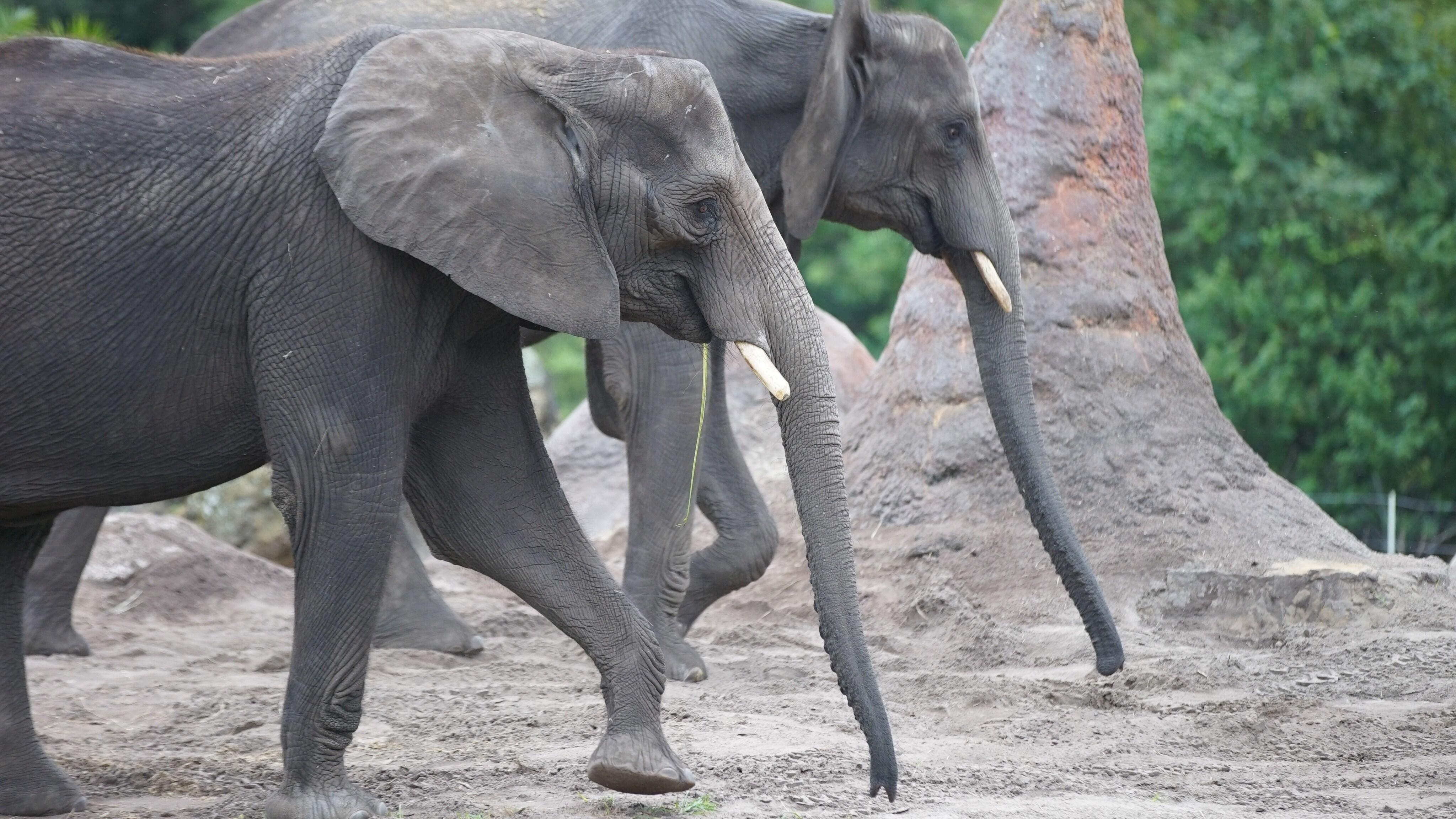 African elephants Kianga and Nadirah. (Disney)