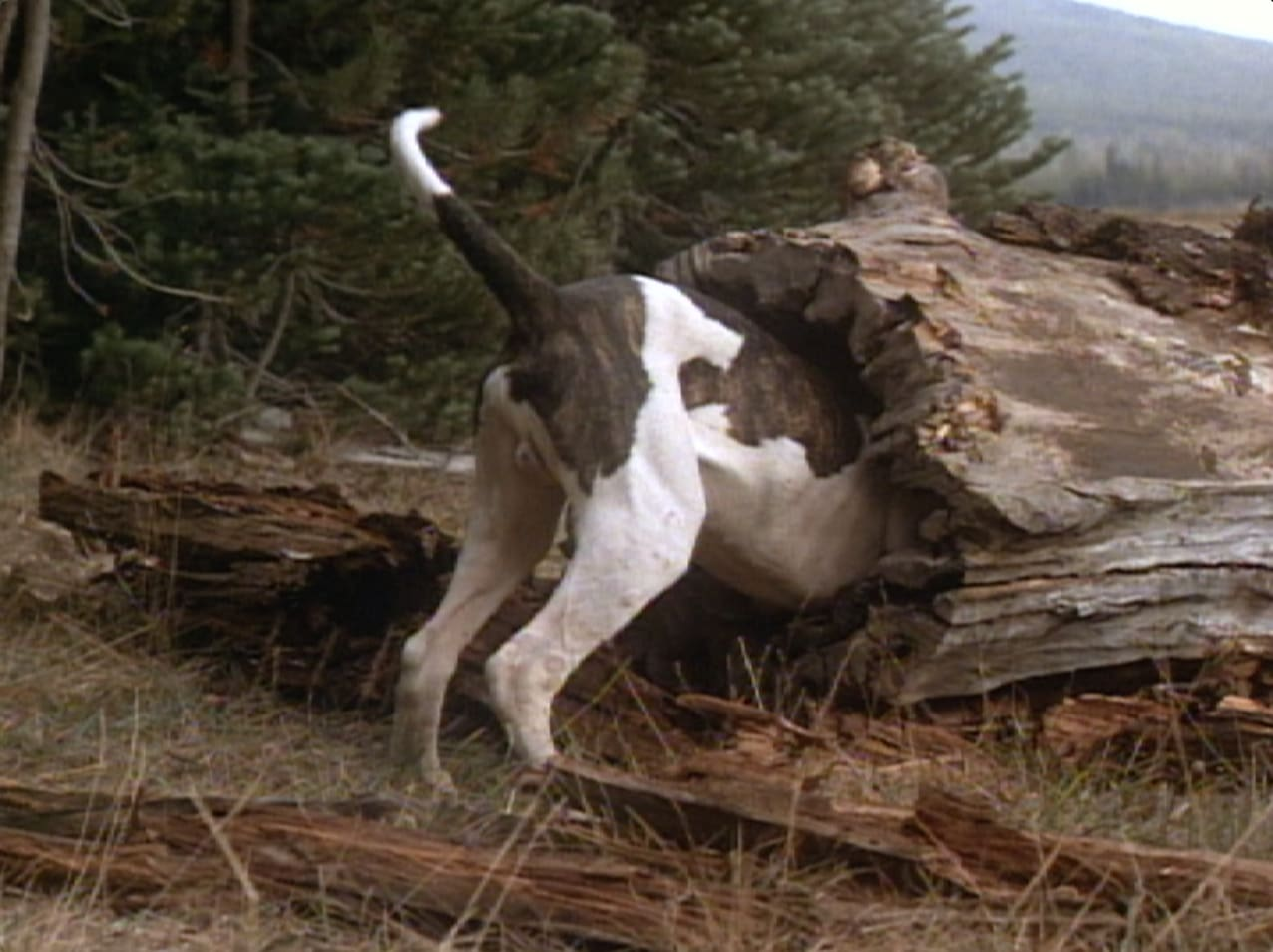 Chance gets skunked in Homeward Bound