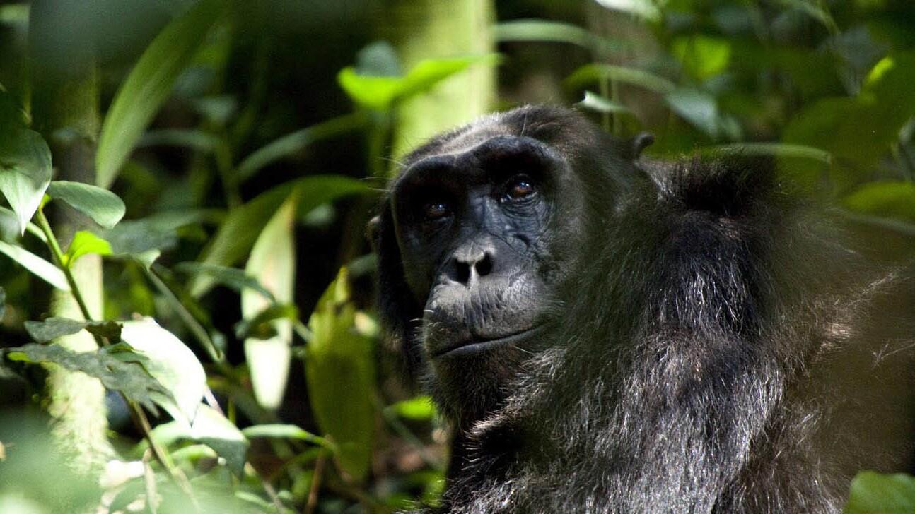 Chimpanzee pack leader, Freddy