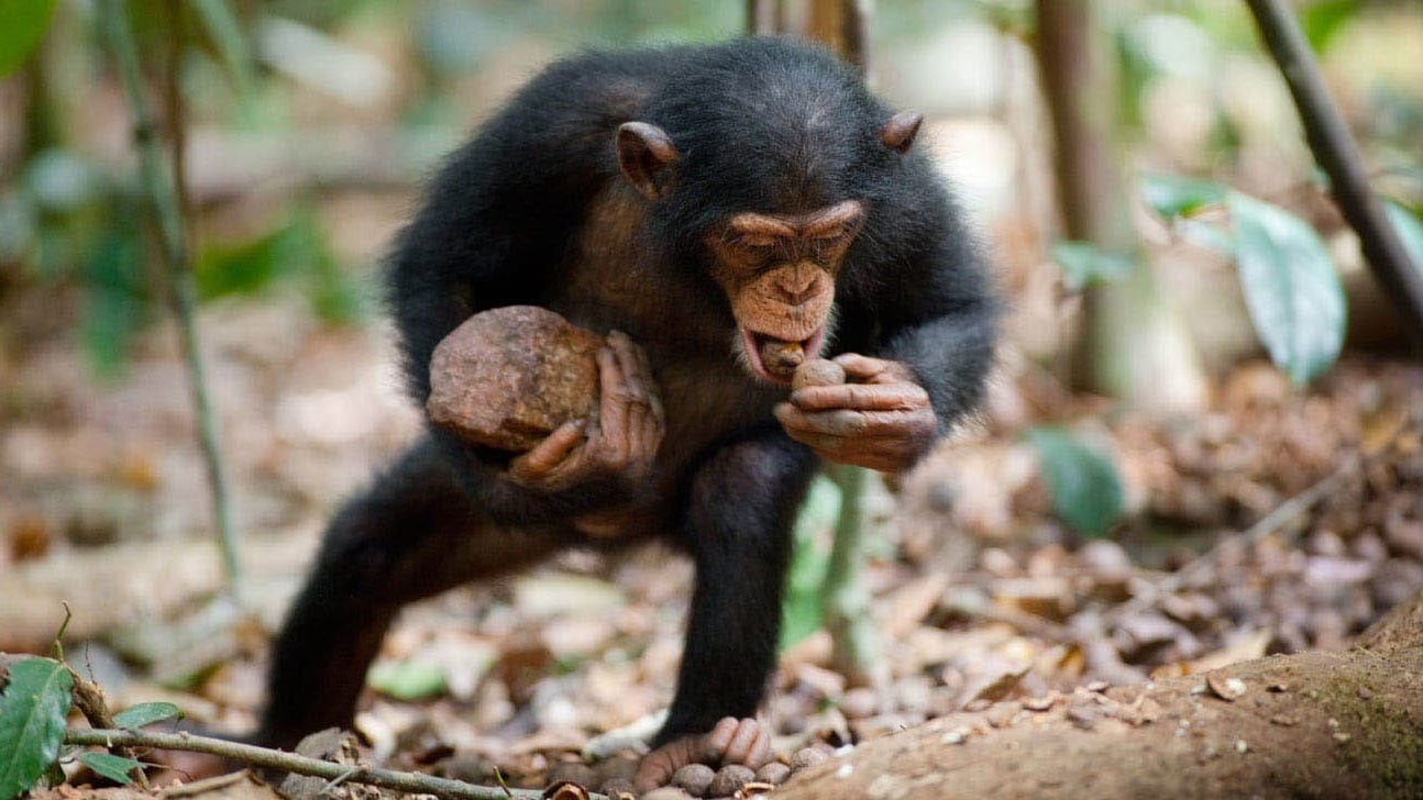 Oscar, a chimpanzee, with food he found in the African jungle