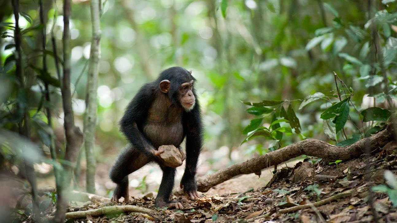 Oscar, a young chimpanzee, walking in an African forest