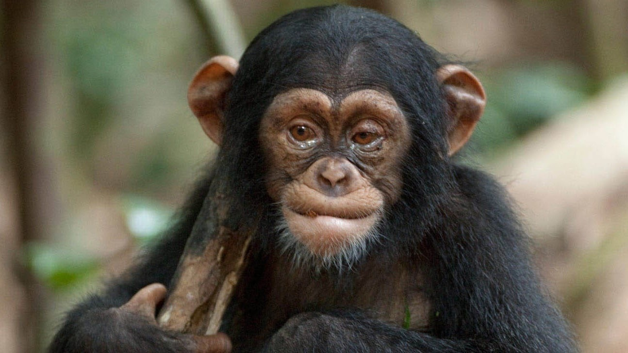 Oscar, a young chimpanzee, with tears in his eyes