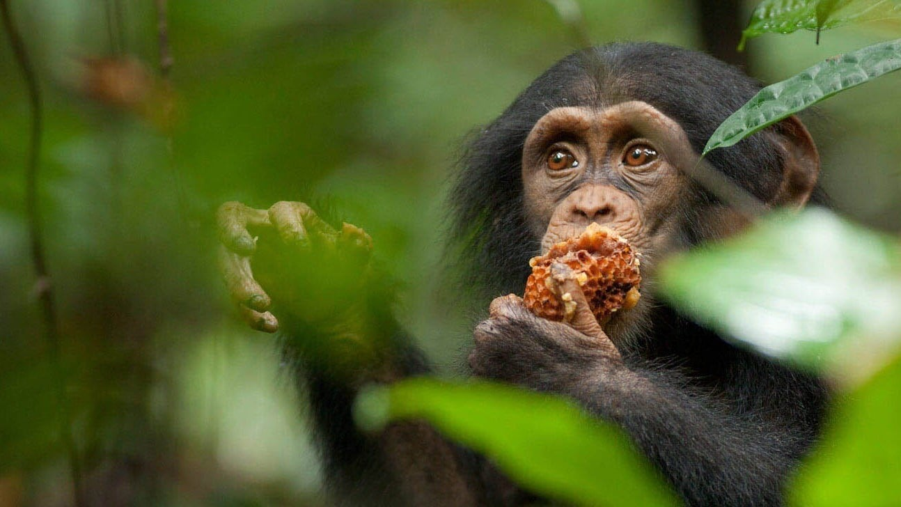 Oscar, a young chimpanzee, eating honeycomb an African forest