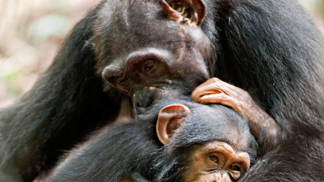 Oscar, a young chimpanzee, hugging his mother.