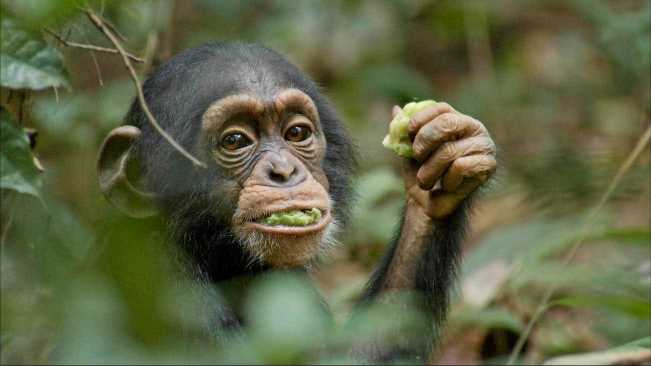 Oscar, a chimpanzee, eating Sacaglottis fruit in the African forest