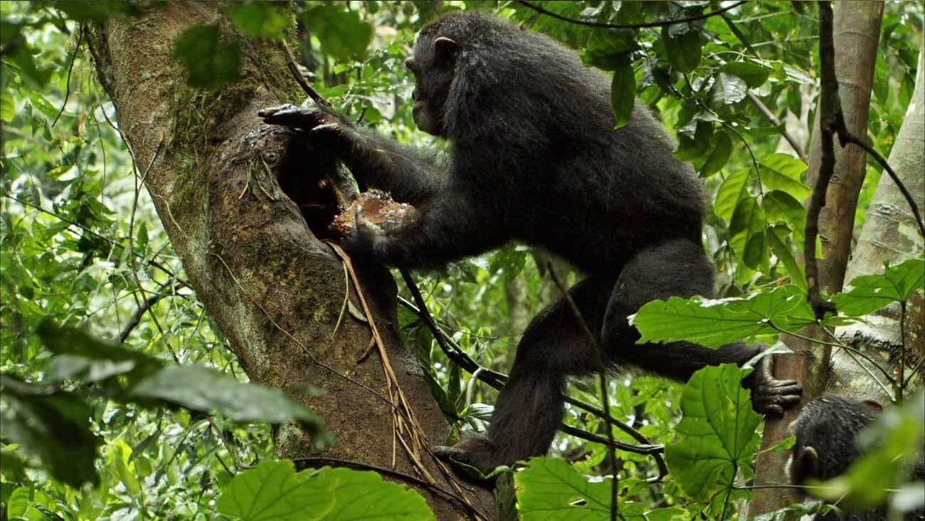 A chimpanzee atop a tree in the African forest