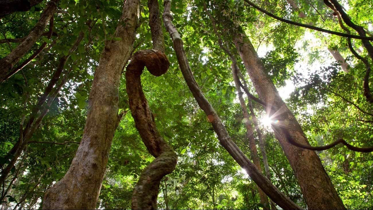 Photo looking up from within an African forest