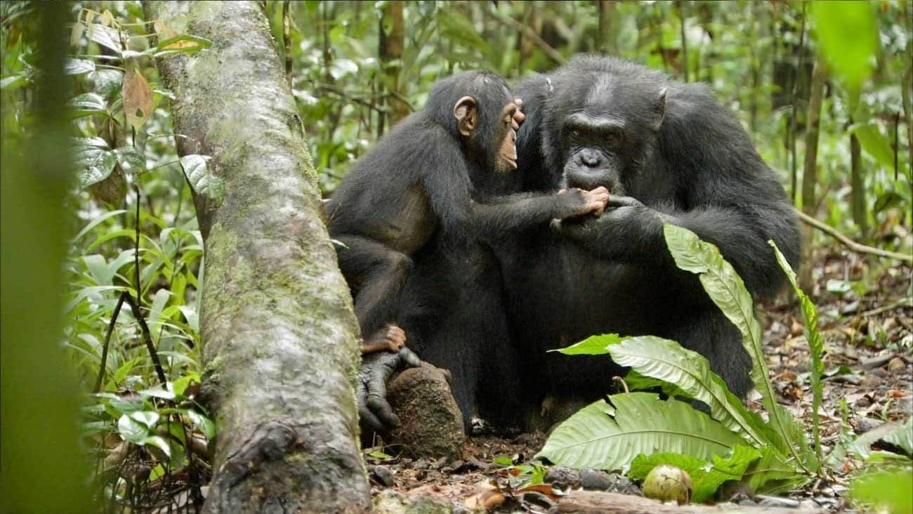 A baby chimpanzee holding the hand of an adult chimpanzee in an African forest