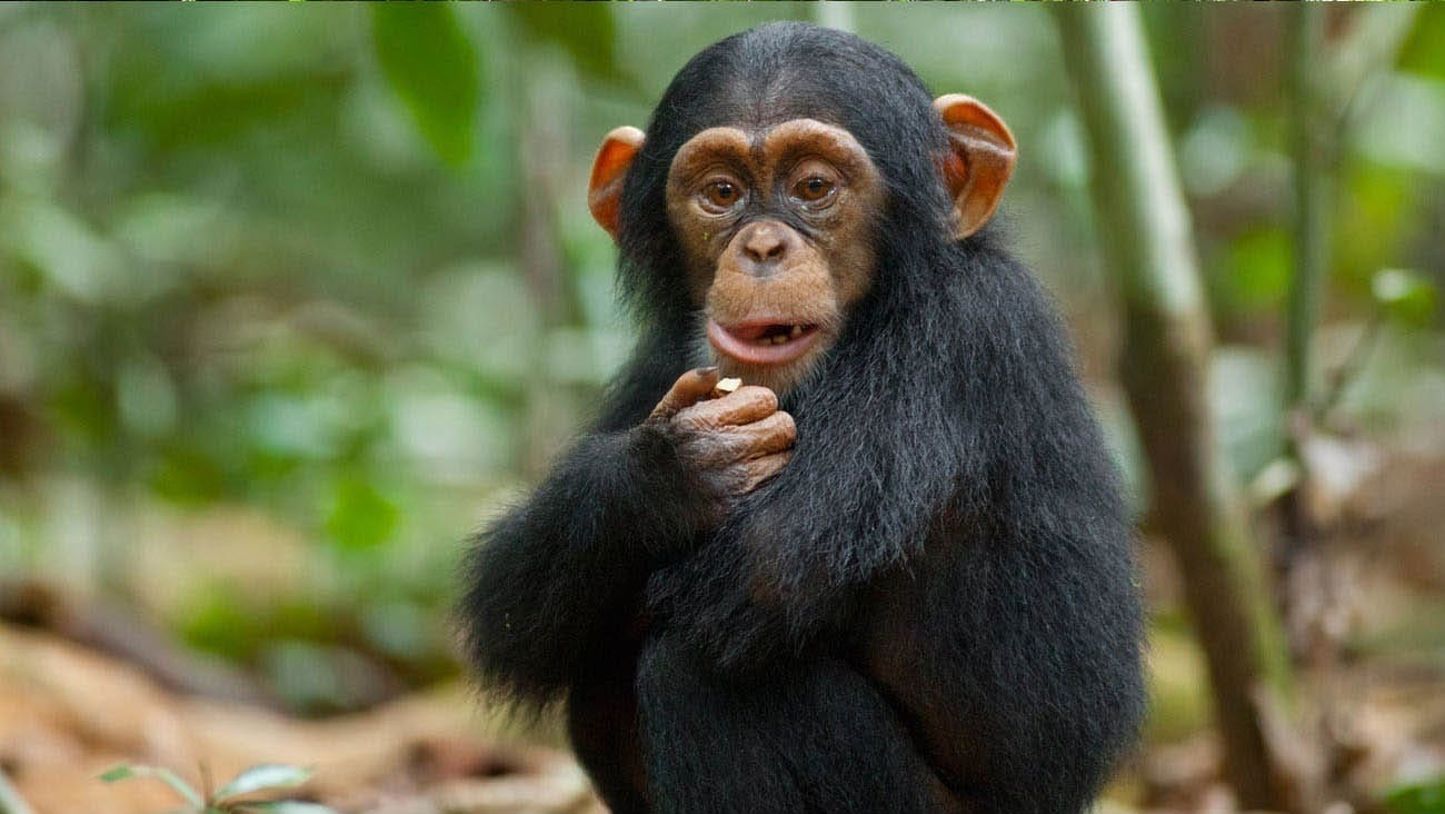 Oscar, a baby chimpanzee, in an African forest