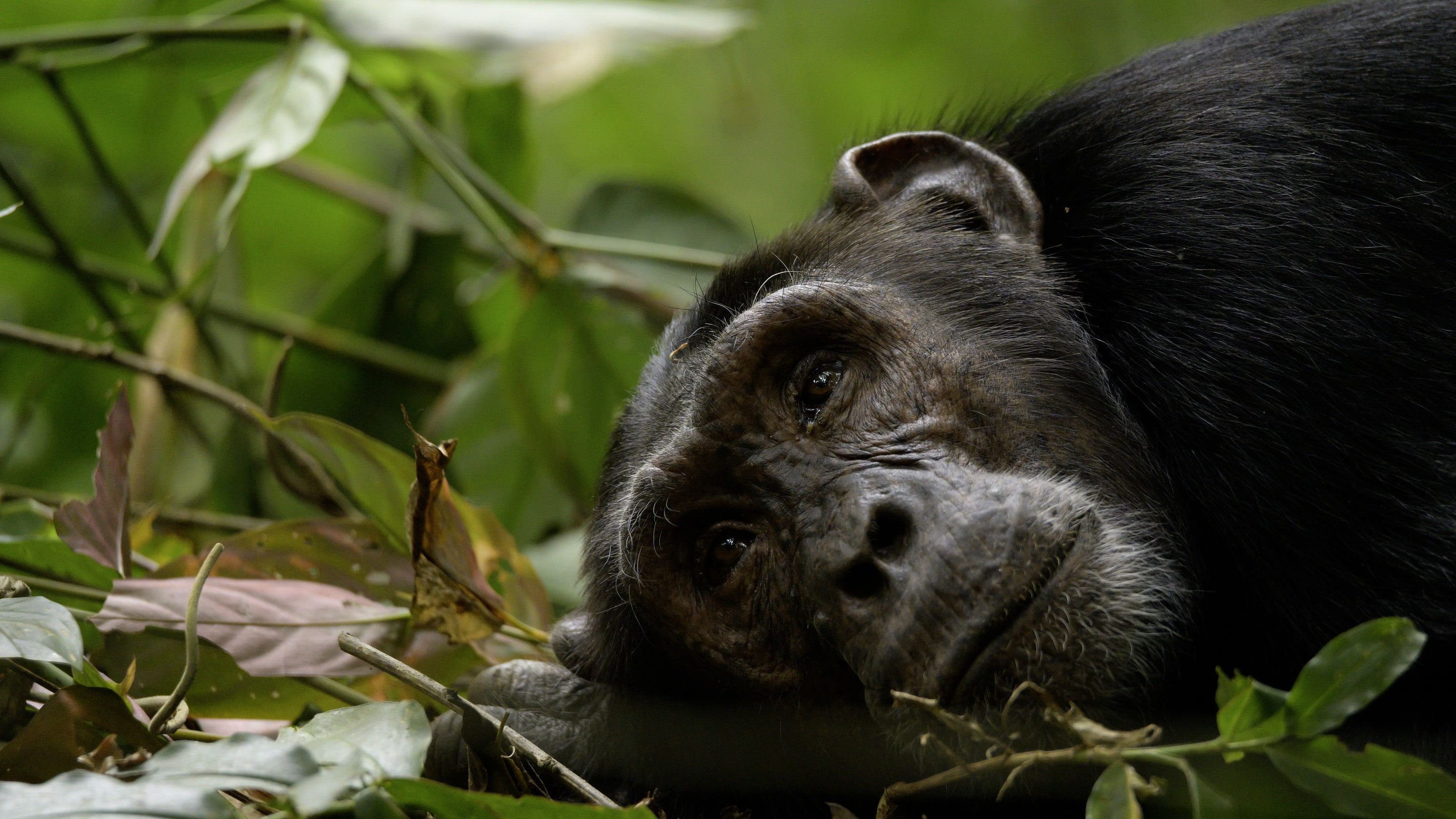An adult chimp lying on the ground. (National Geographic for Disney+/Dominic Weston)
