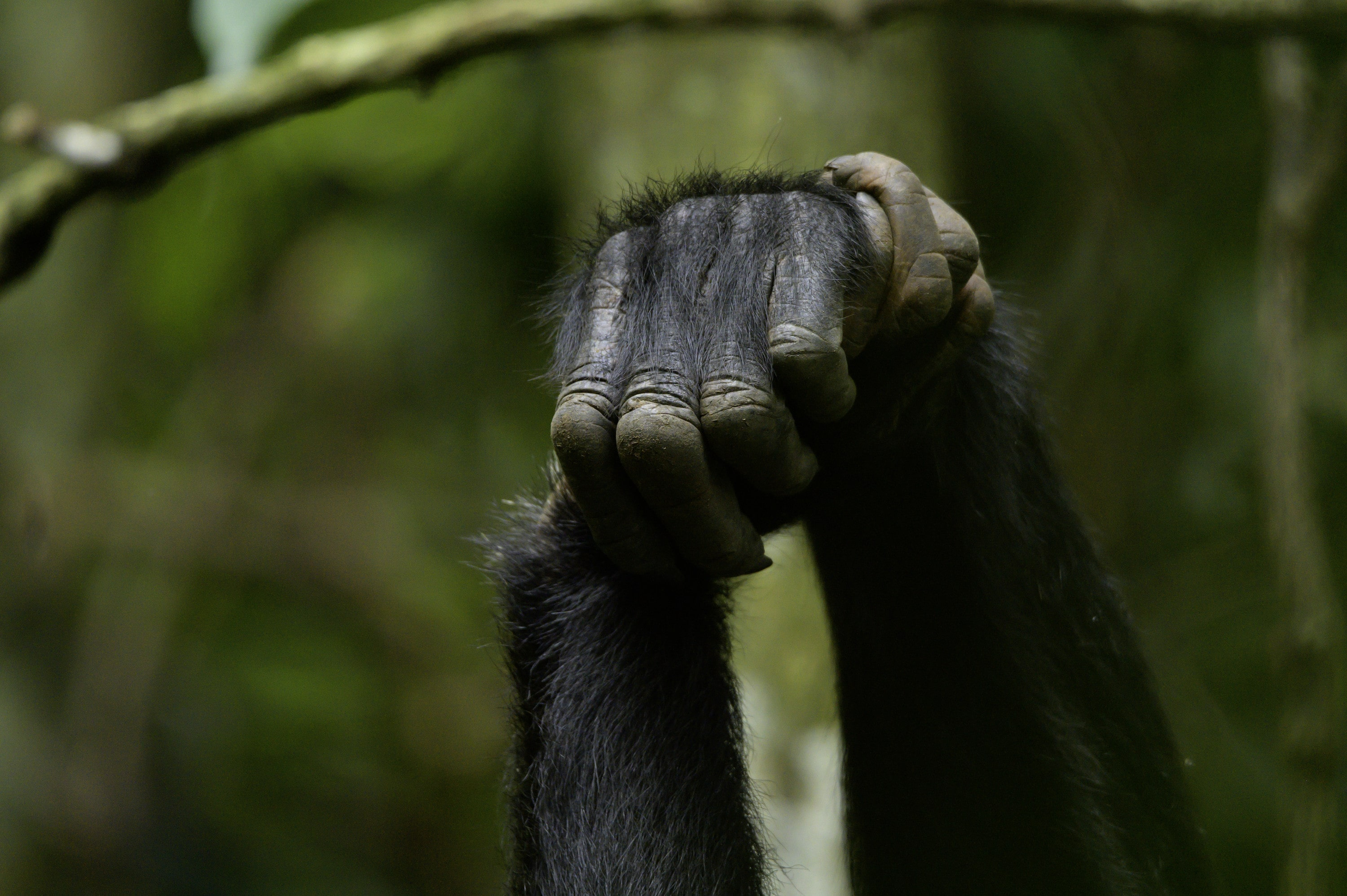 Chimps clasp hands while grooming. (National Geographic for Disney+/Max Kolbl)