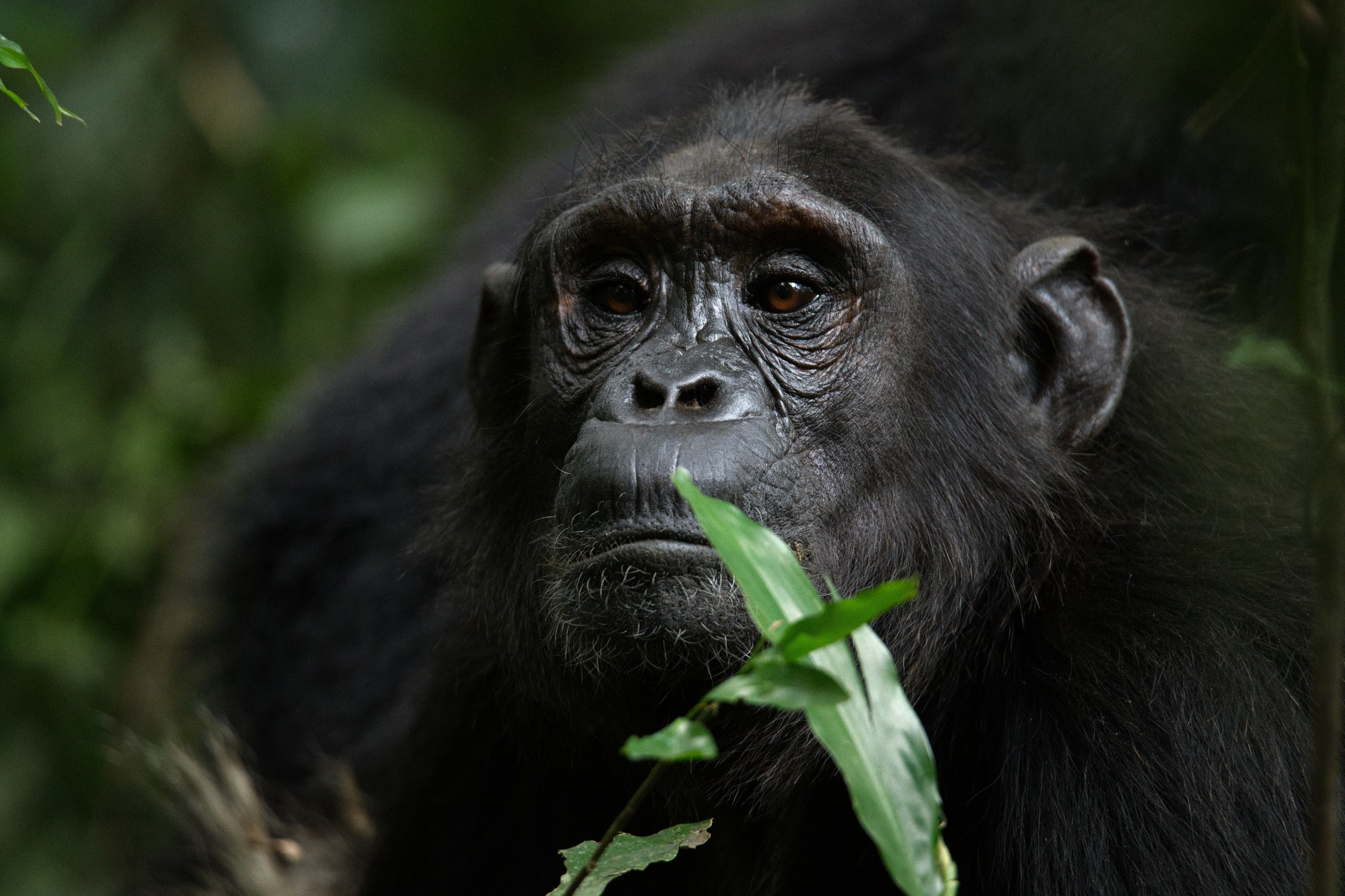 An adult chimp sits calmly in the forest. (National Geographic for Disney+/Max Kolbl)