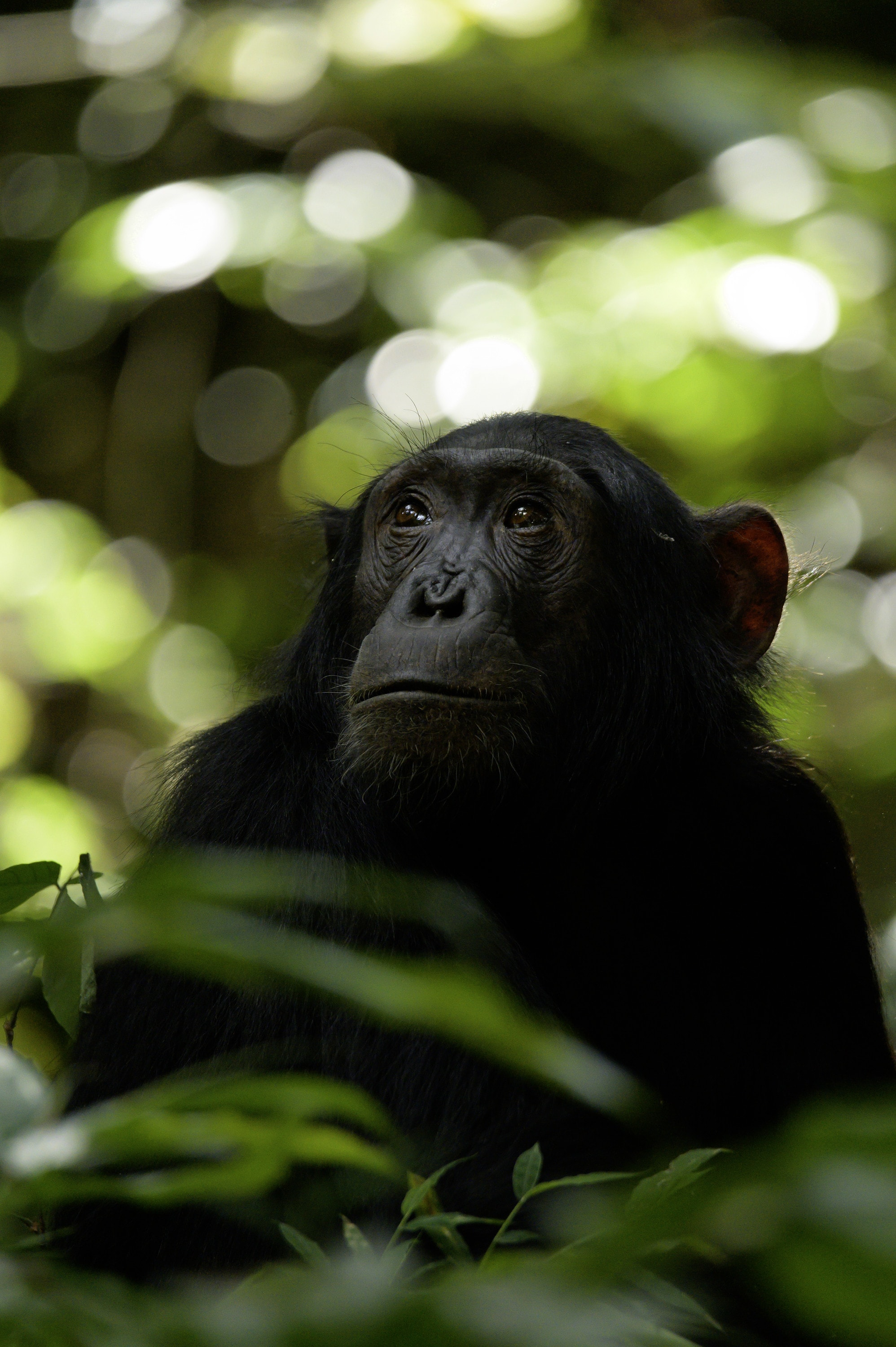 An adult chimp looks toward the sky. (National Geographic for Disney+/Max Kolbl)
