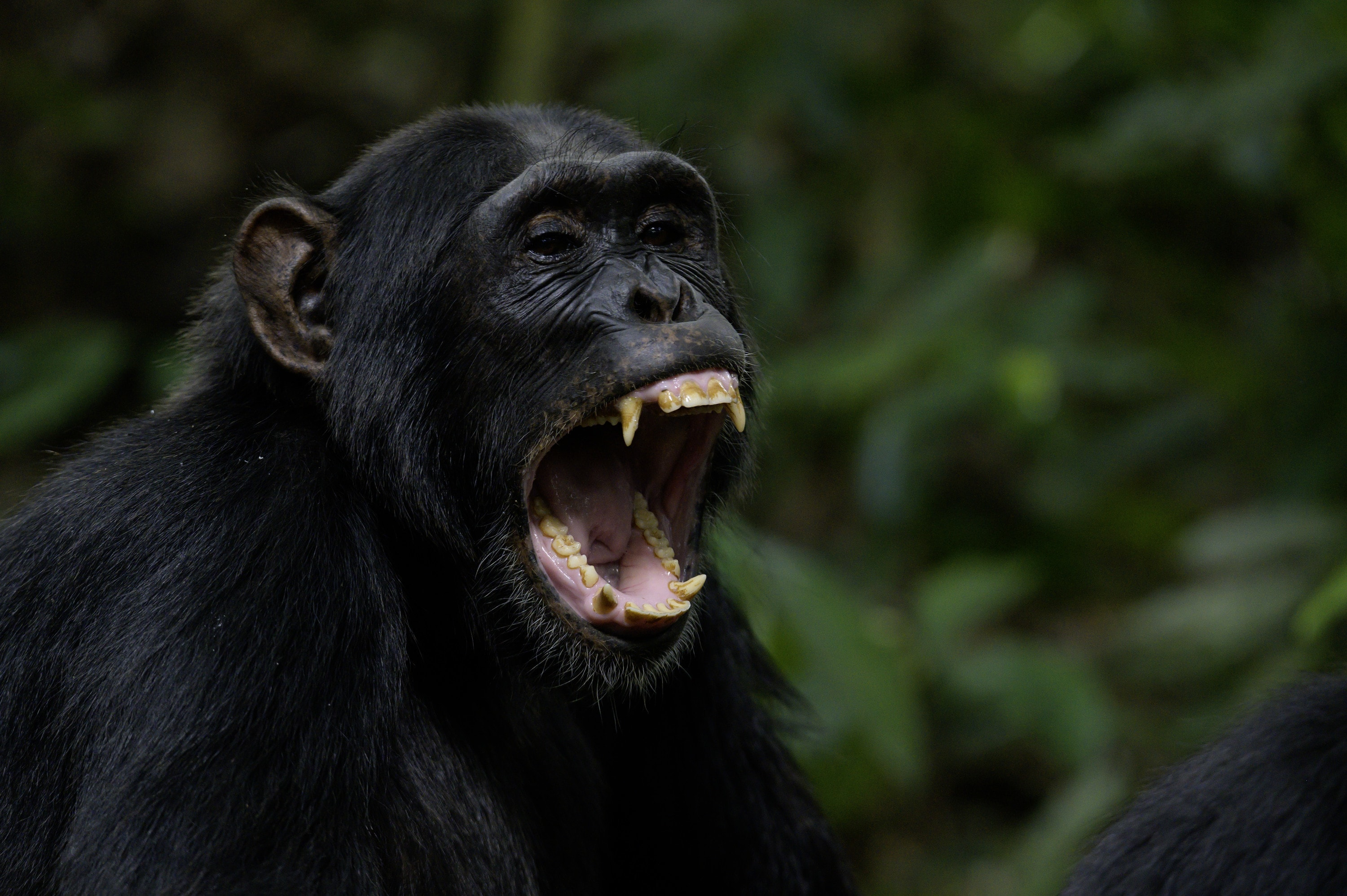 An adult chimp bares its teeth. (National Geographic for Disney+/Max Kolbl)