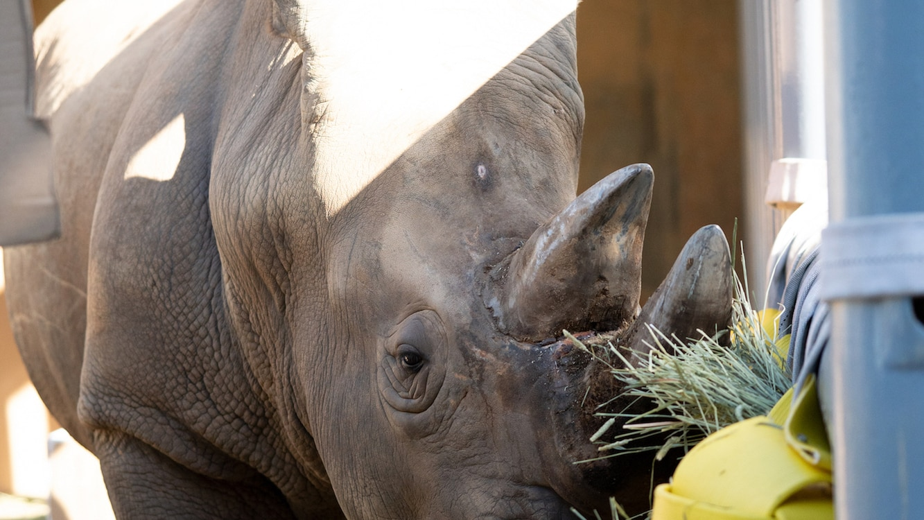 The keepers have put together a couple of surprises for Dugan, the Southern White Rhino, to celebrate his 24th birthday. The birthday surprises include signs dedicated to him, boxes full of hay and a hay cake which he smashes. (Disney)