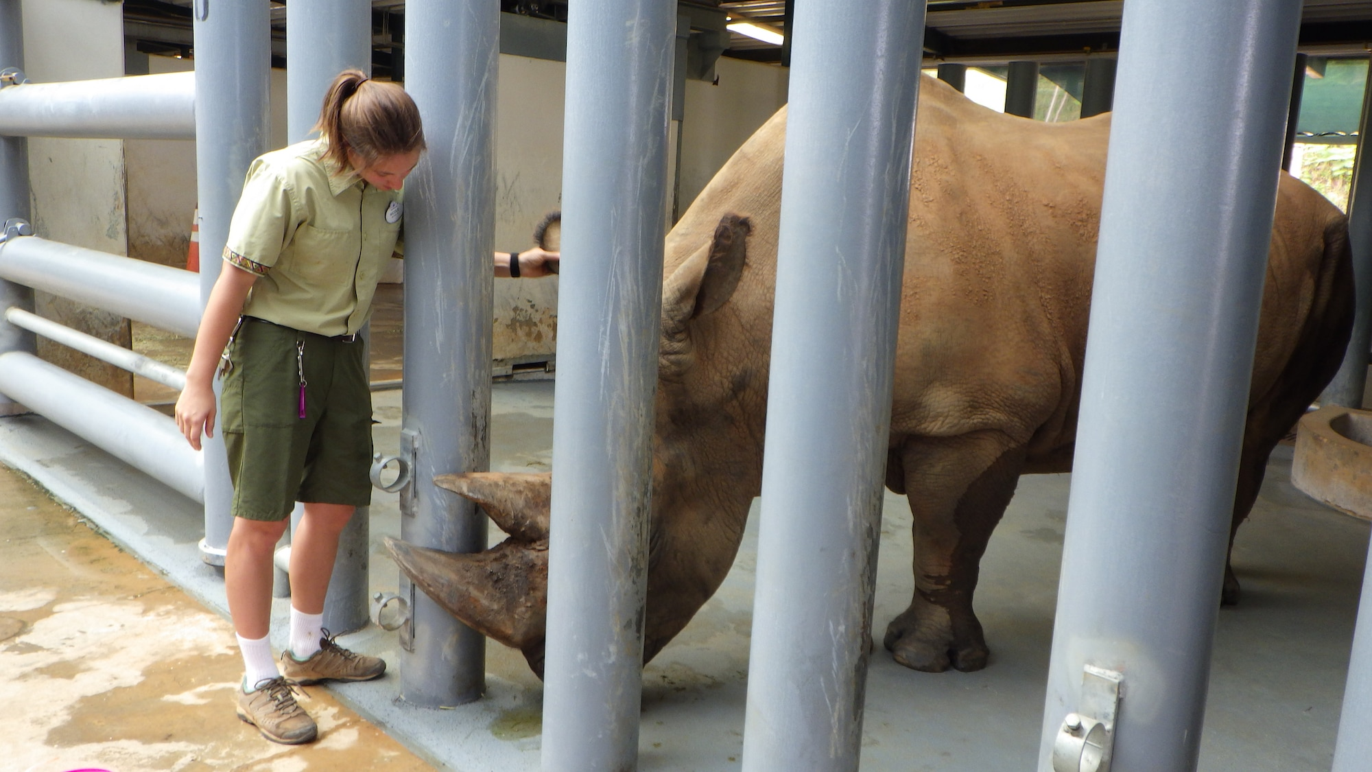 Keeper Nicole Richter checks up on Dugan, the Southern White Rhino's horn because of abrasions and a potential infection. (Disney)