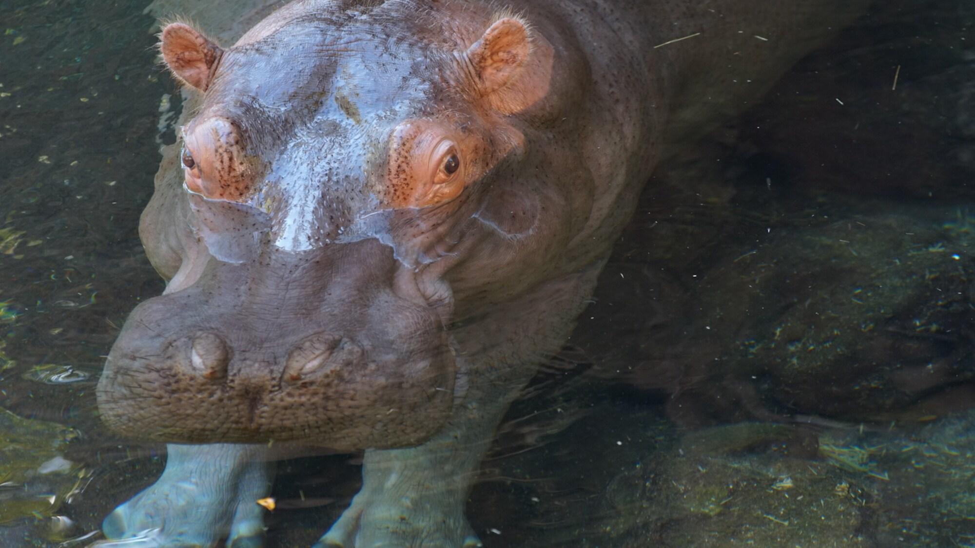 Augustus, Gus for short, the Hippopotamus. (Disney)
