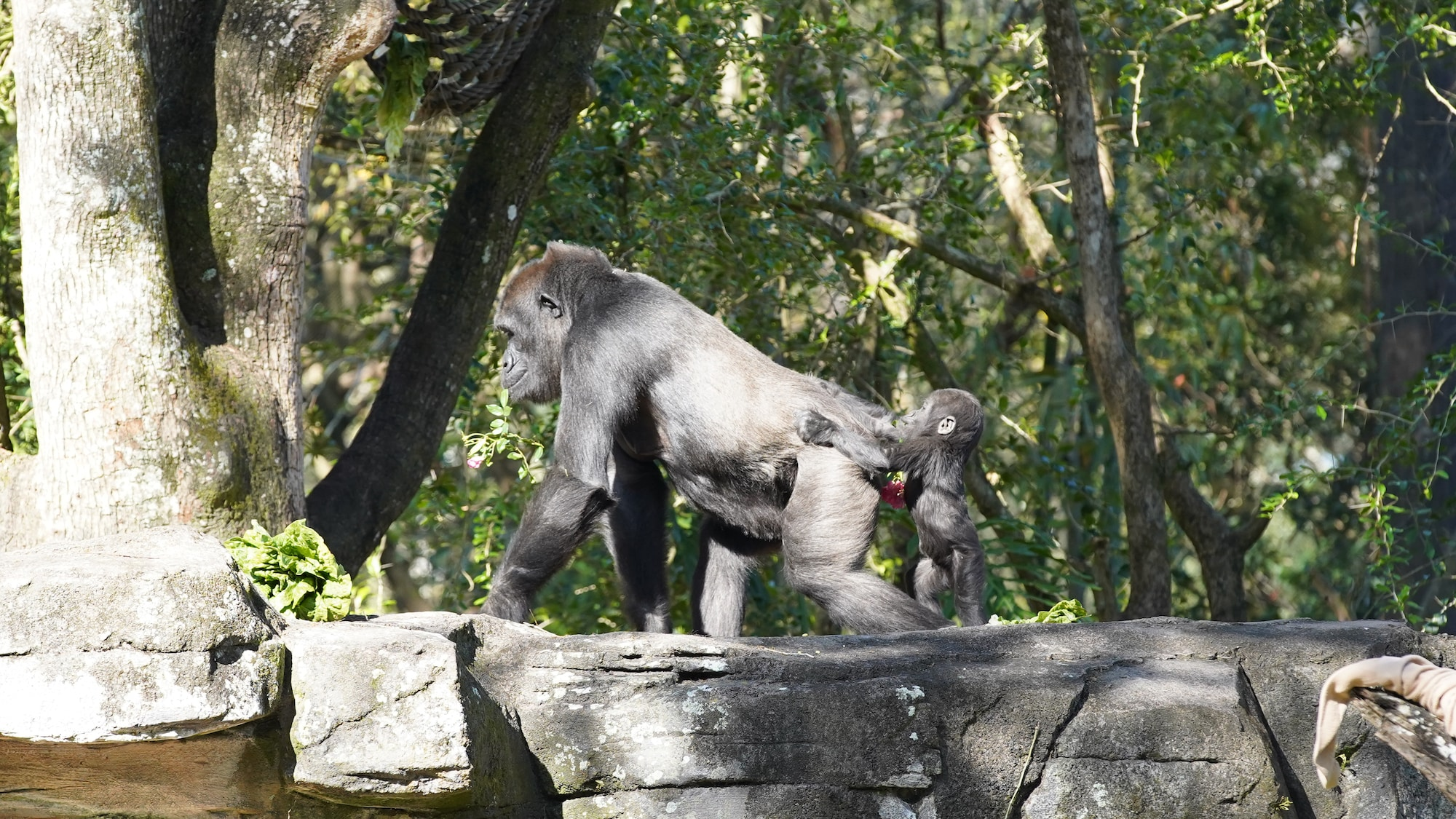 Kashata, the Western Lowland Gorilla, with daughter Grace. (Disney)