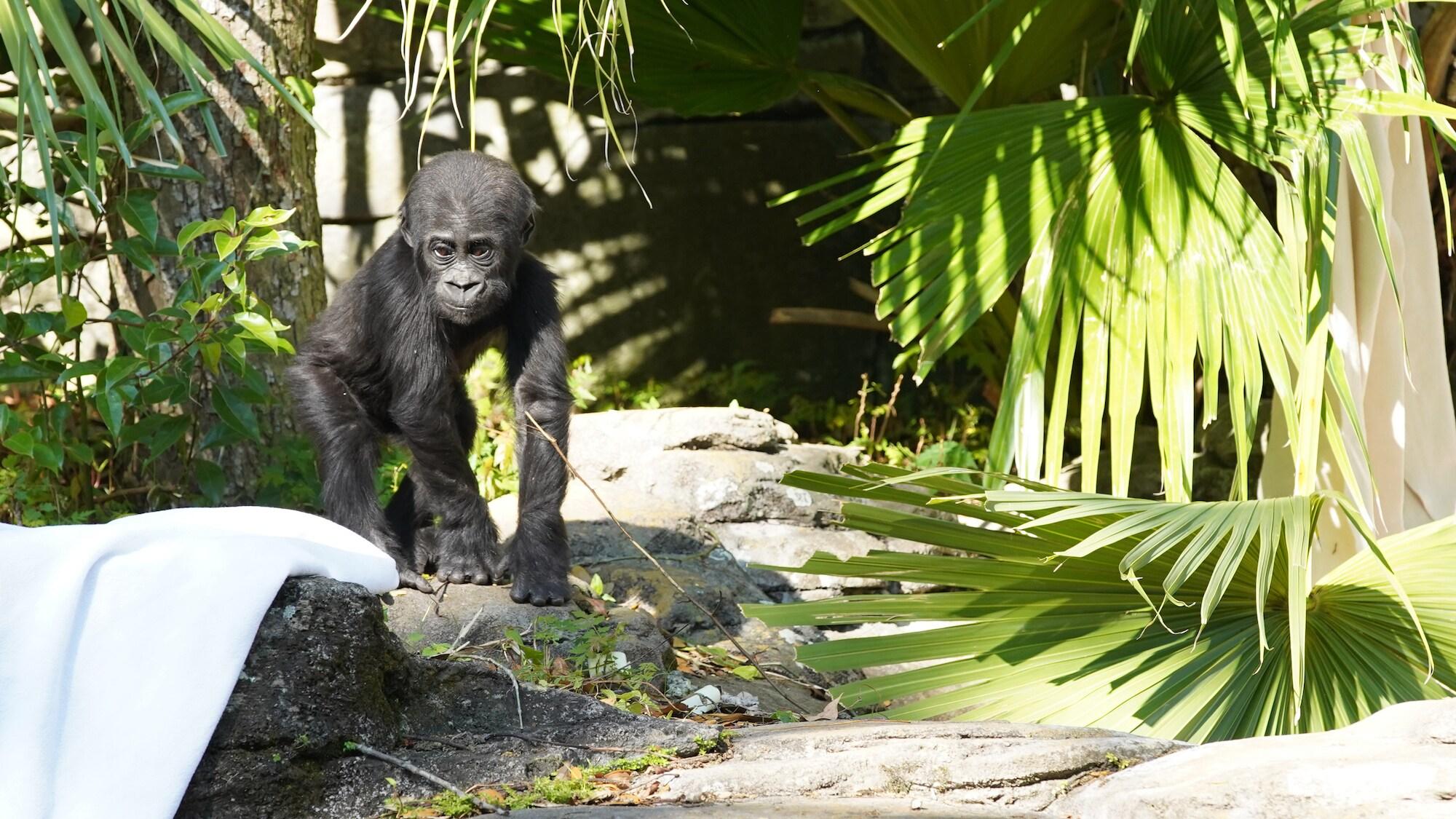 Grace, the baby Western Lowland Gorilla. (Disney)