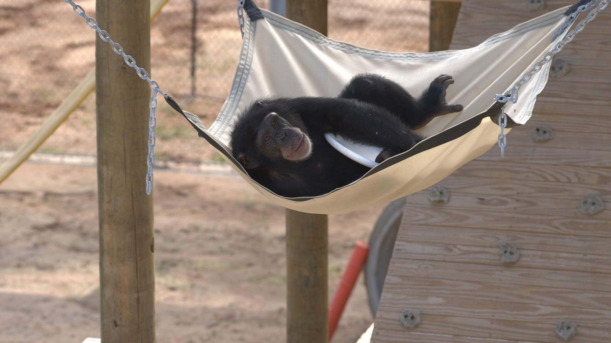 "Keithville, Louisiana - ""Riley resting in a hammock clutching a Frisbee. Riley is in 'Slim's Group'."" (National Geographic/Chimp Haven/Karalee Scouten)"