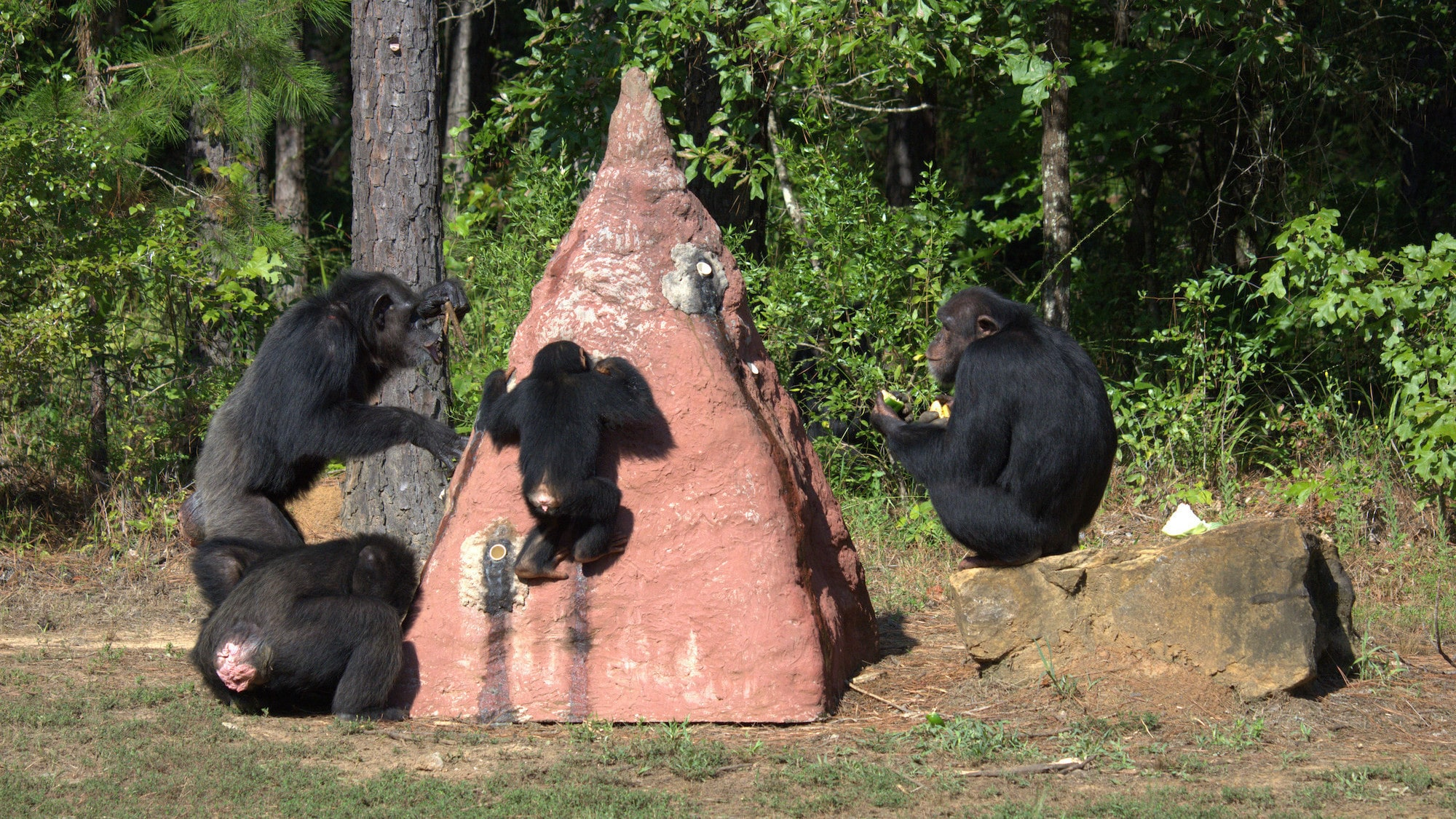 Keithville, Louisiana - Carlee termite fishing with four other Chimps from Flora's group. (National Geographic/Virginia Quinn)