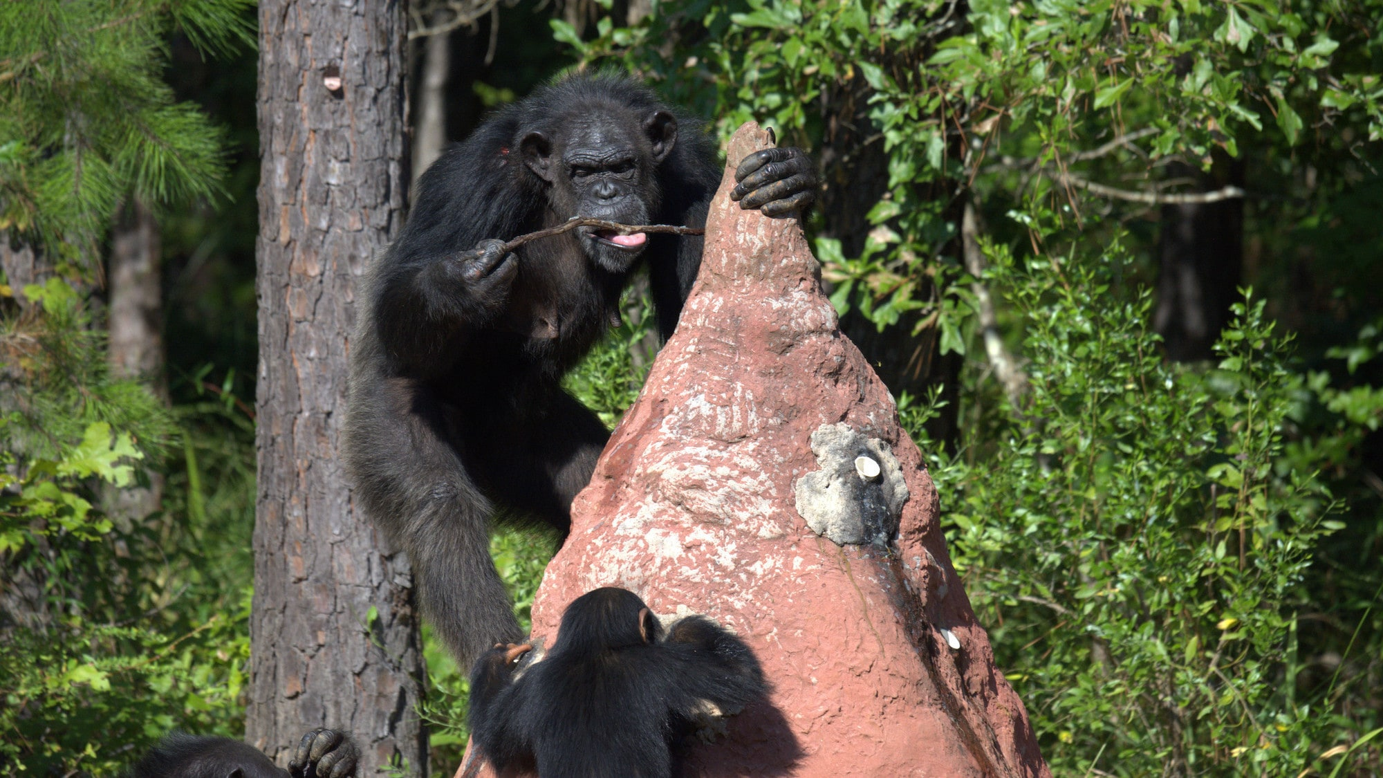"Keithville, Louisiana - ""Chimp called Muffy using a stick to termite fish. Baby Carlee is on the bottom of the termite mound. 'Flora's Group'."" (National Geographic/Virginia Quinn)"