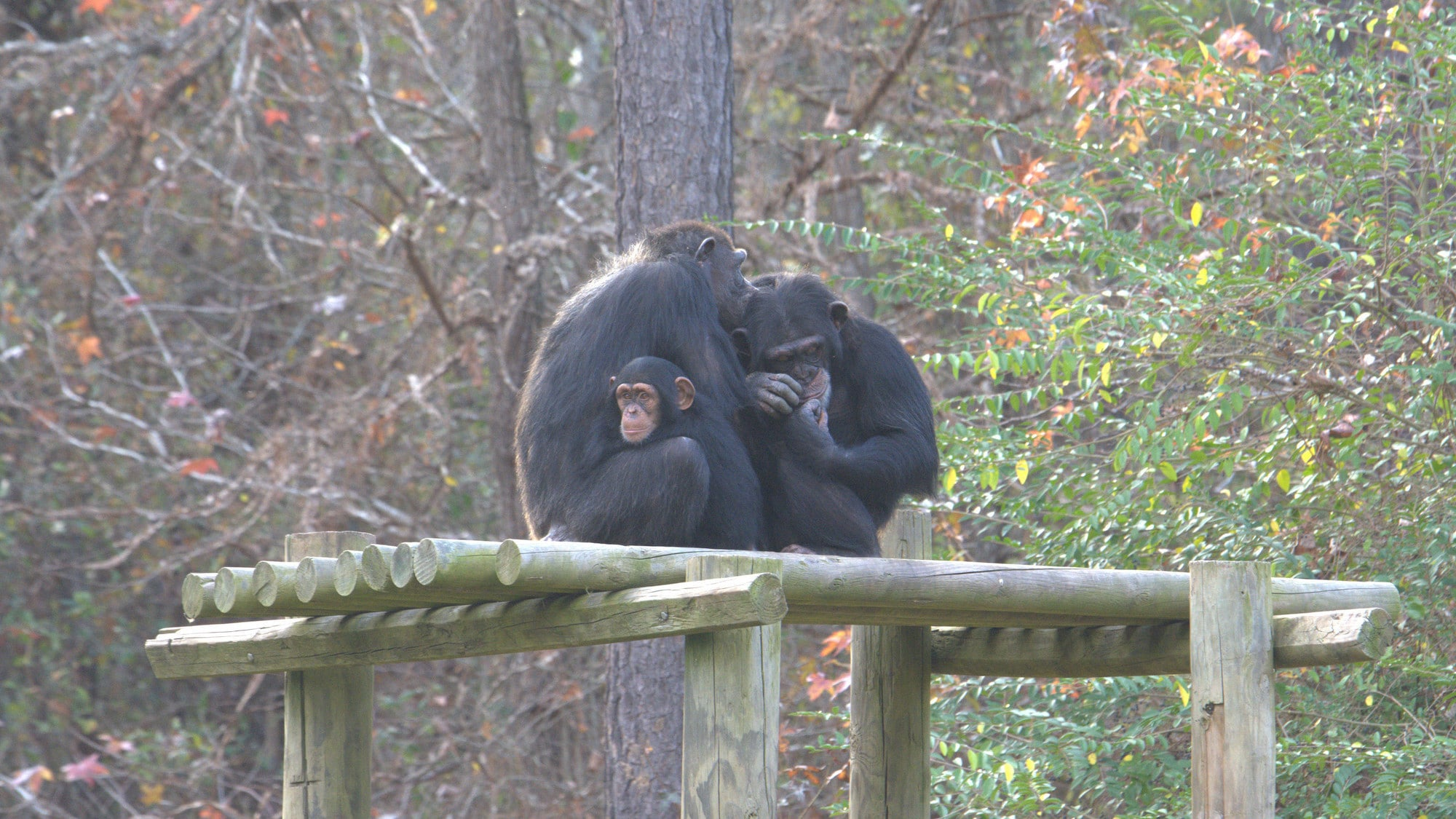 Keithville, Louisiana - Baby Carlee with her Mum Passion, and older sister Arden on a platform in their forest habitat at Chimp Haven. Passion and Arden are grooming, an important part of Chimp social behaviour. They are in 'Flora's Group'. (National Geog