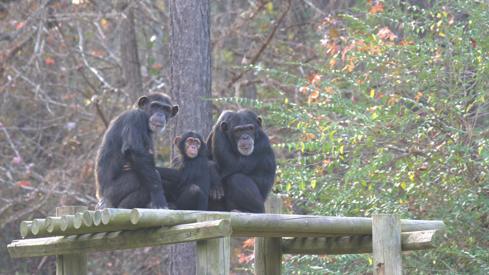 Keithville, Louisiana - Baby Carlee with her Mum Passion, and older sister Arden on a platform in their forest habitat at Chimp Haven. They are in 'Flora's Group'. (National Geographic/Virginia Quinn)