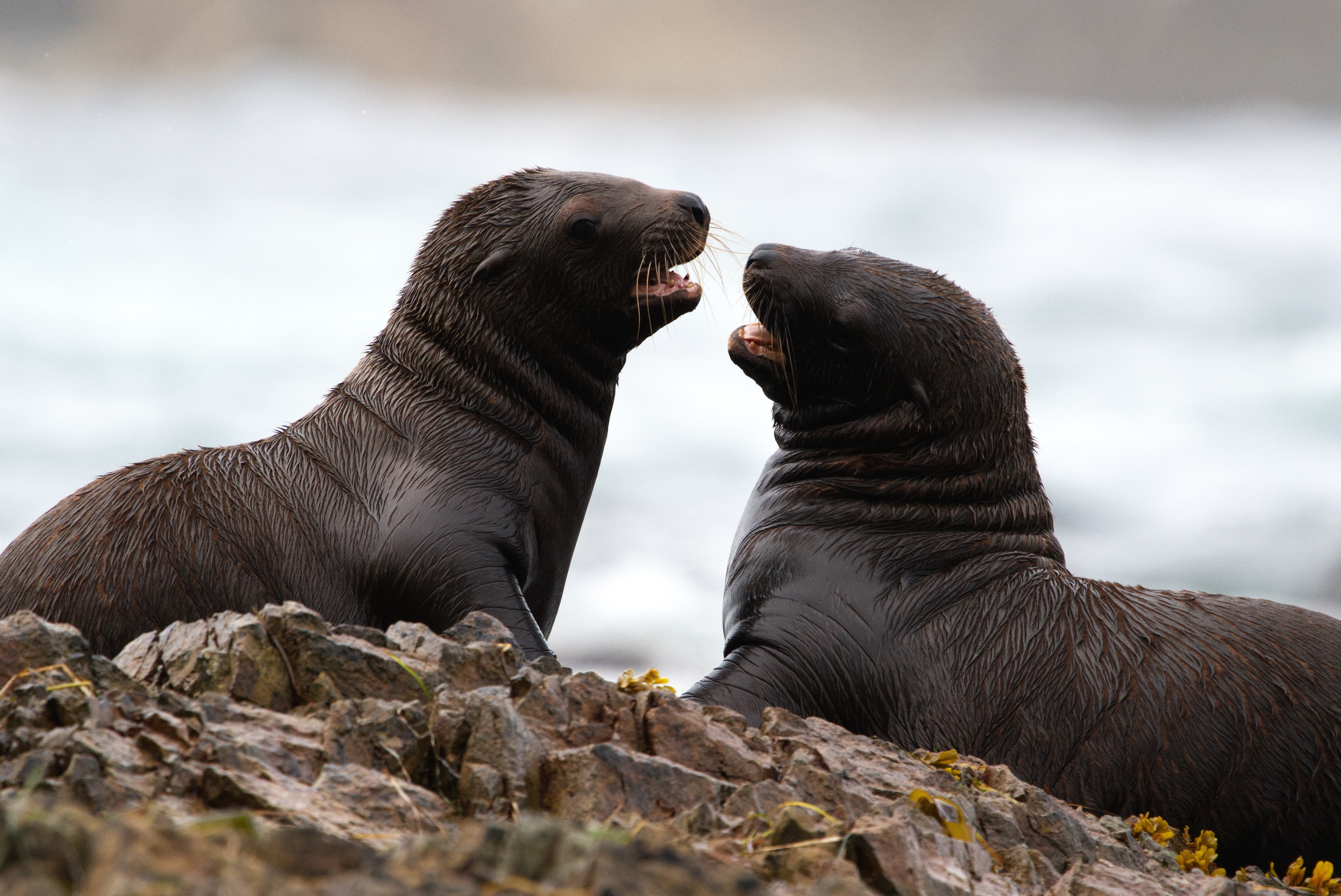 Two sea lion pups interact on the rocks. (National Geographic for Disney+/Ryan Tidman)