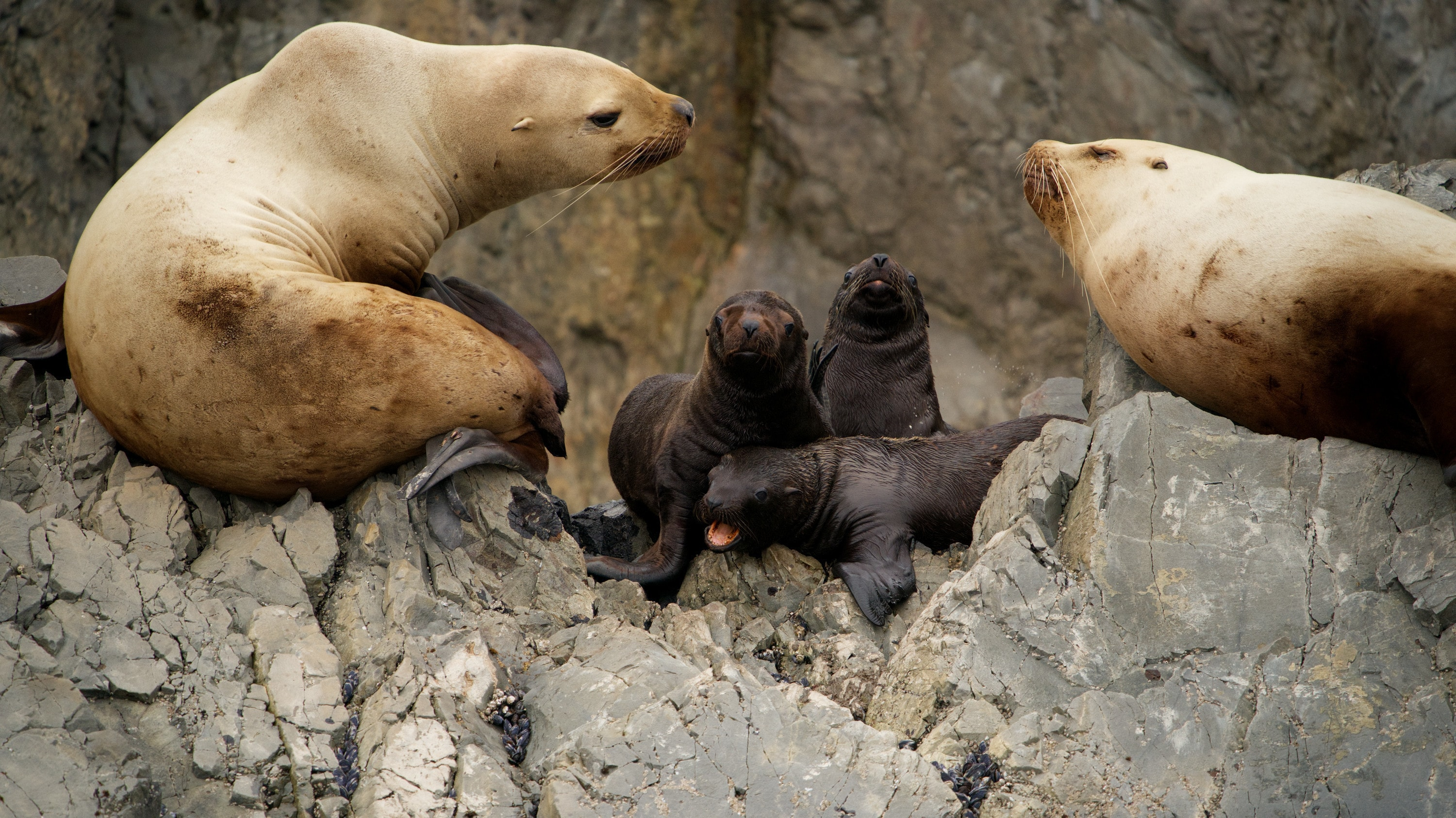 Star sits with pup Luna and other sea lions on the rocks of Triangle Island. (National Geographic for Disney+/Ryan Tidman)