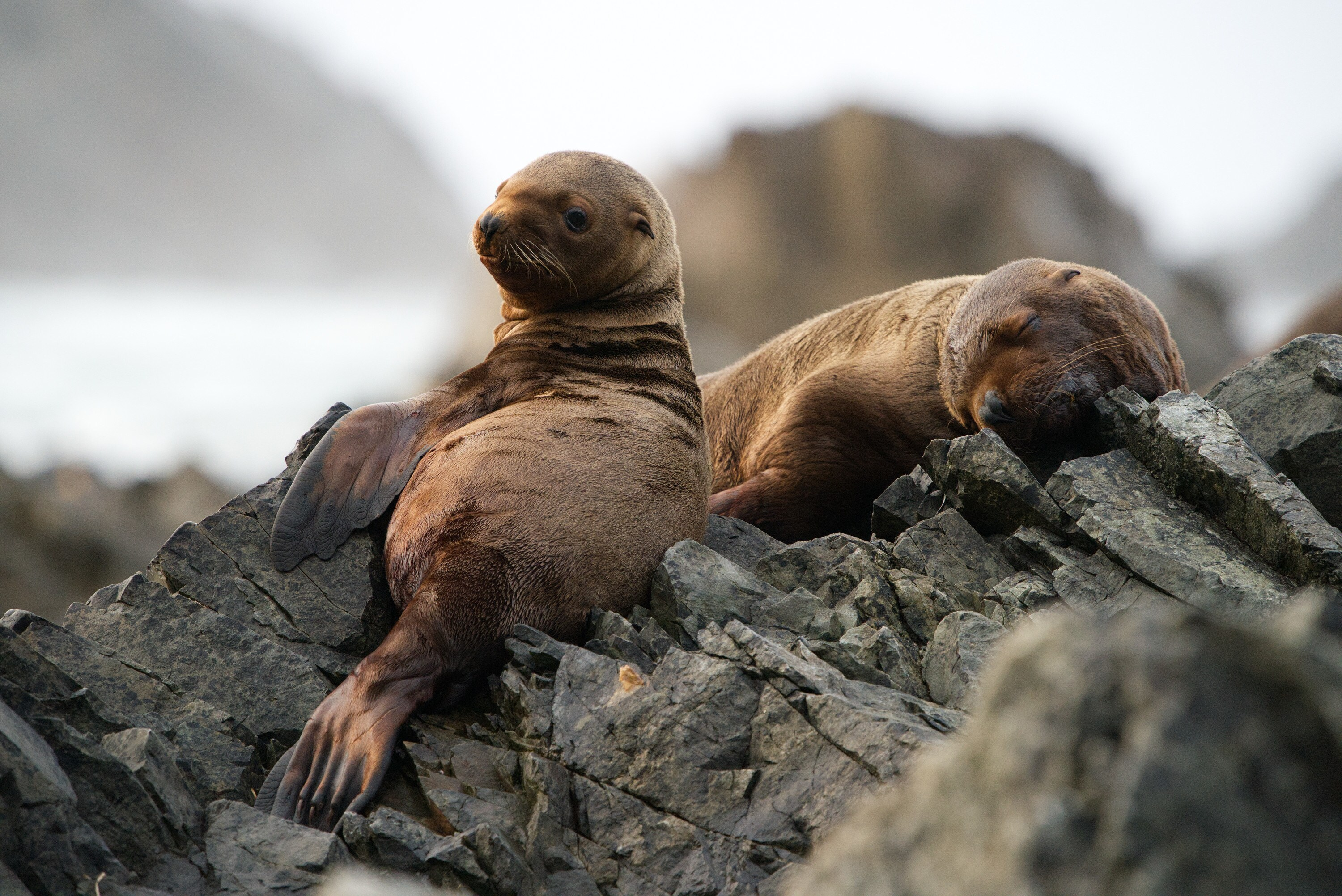 Luna and another pup on the rocks, Triangle Island. (National Geographic for Disney+/Ryan Tidman)