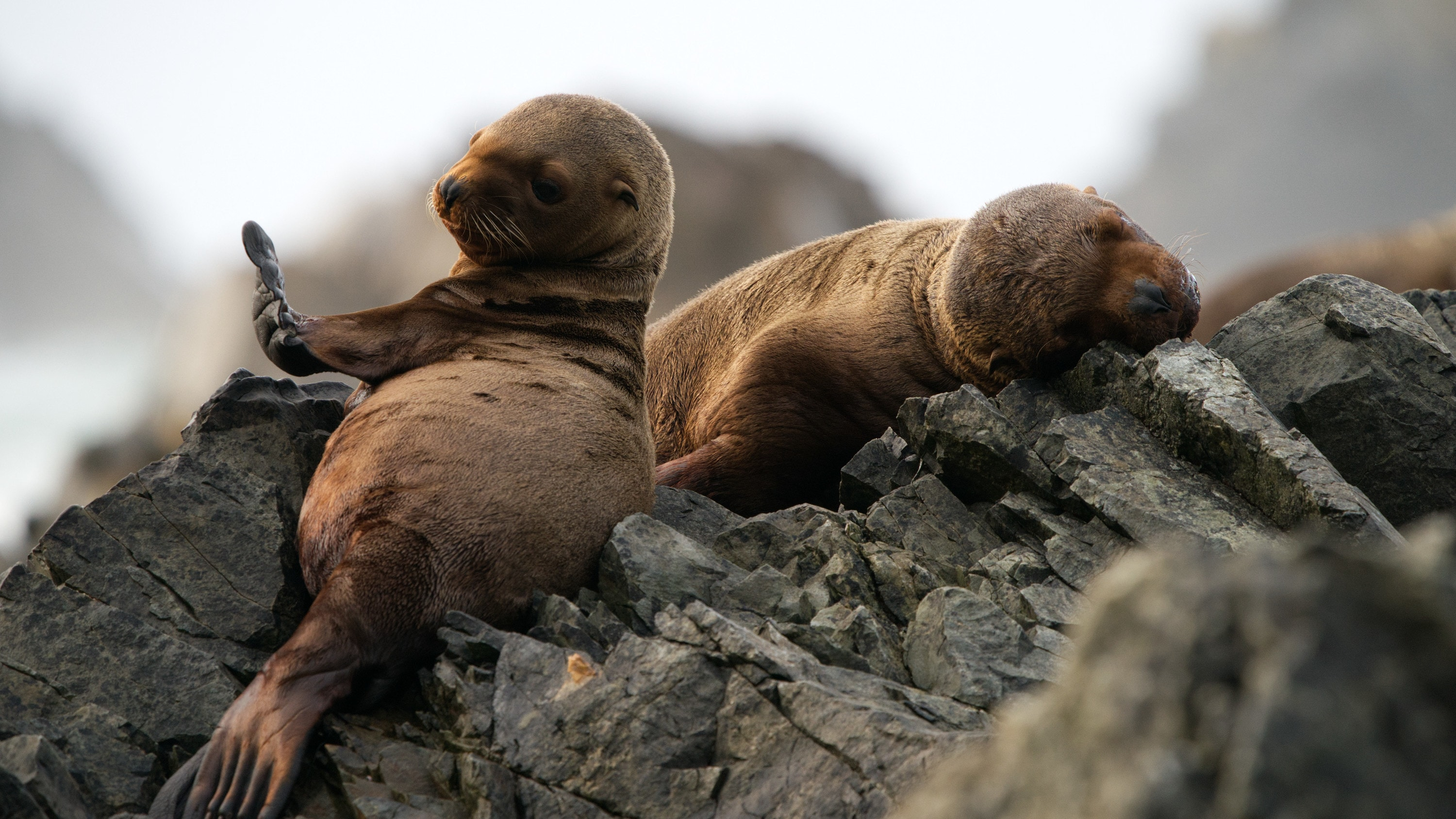 Luna looks at her flipper while another pup sleeps on the rocks. (National Geographic for Disney+/Ryan Tidman)